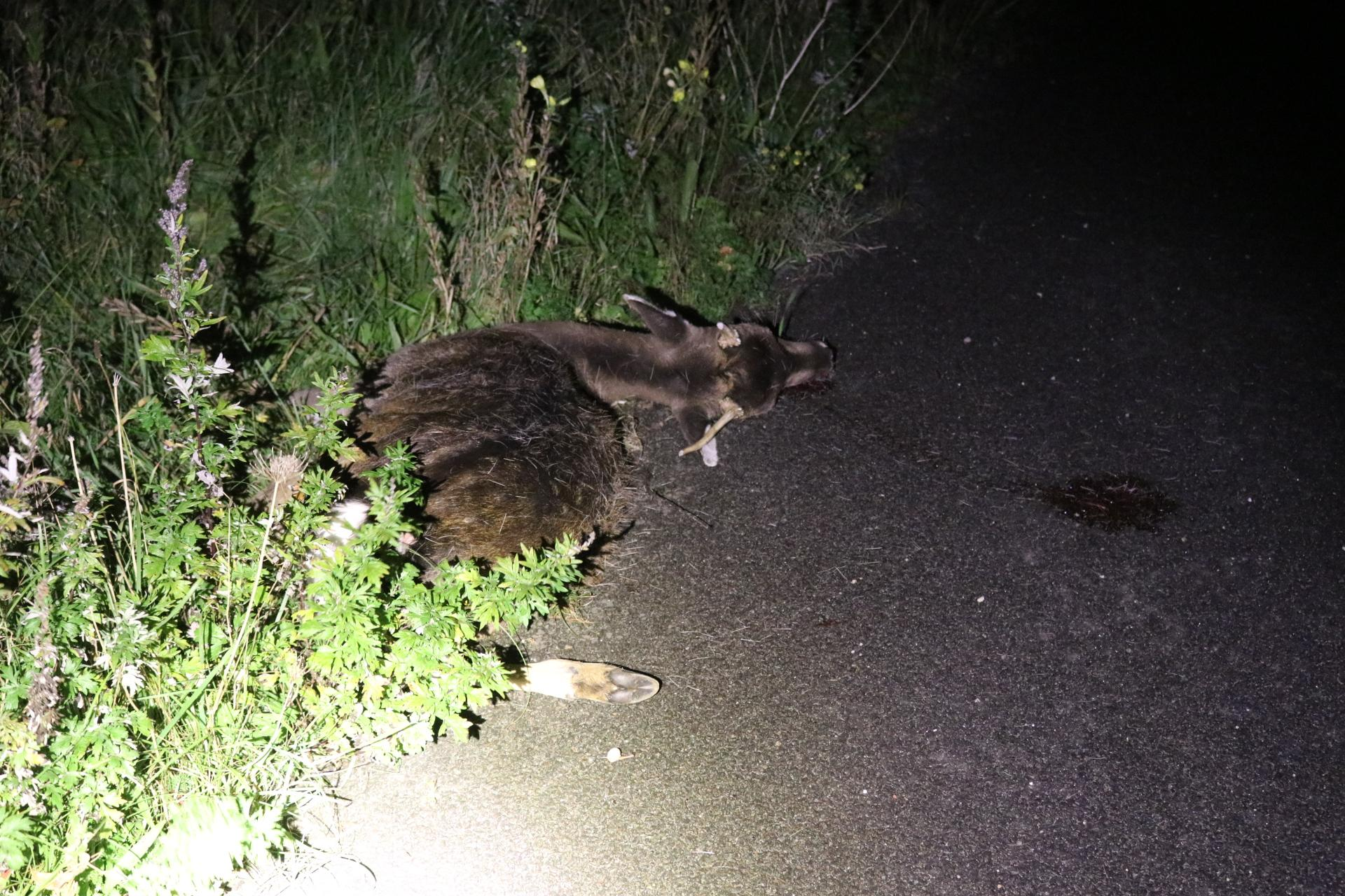 Hert overleden bij botsing met auto in De Zilk