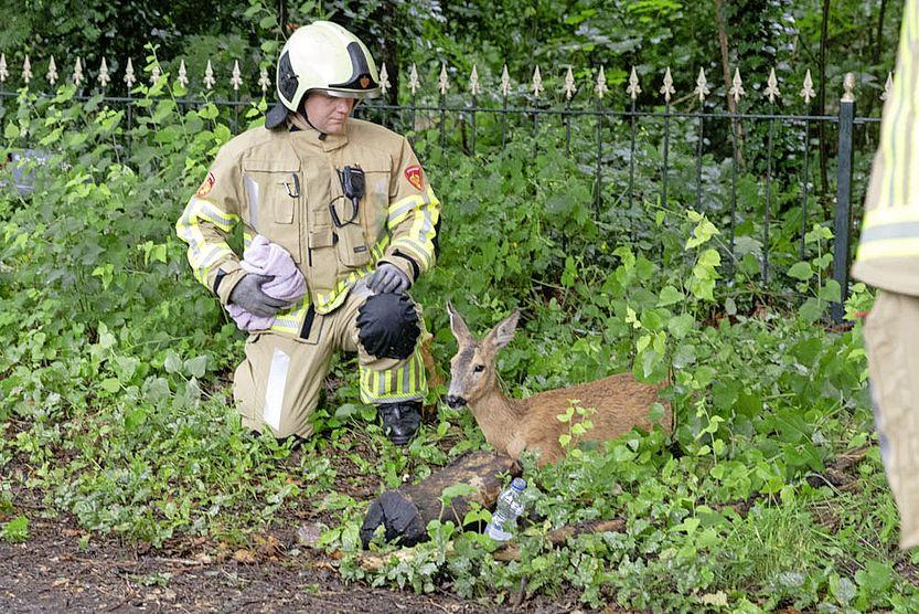 Dierenvrienden ontdekken beknelde en angstige ree. Brandweer Soest bevrijdt het dier uit zijn uitzichtloze situatie