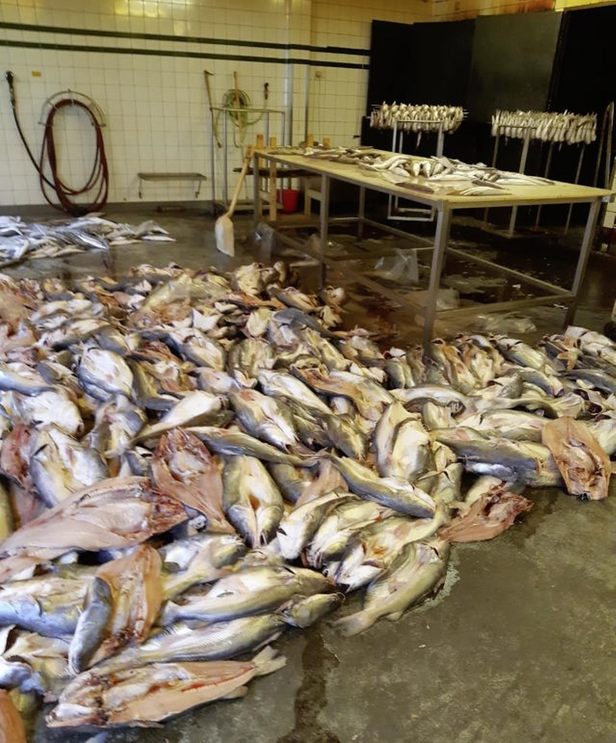 IJmuidens visbedrijf stilgelegd na inspectie NVWA; vuile bedrijfsruimte en vis op de werkvloer