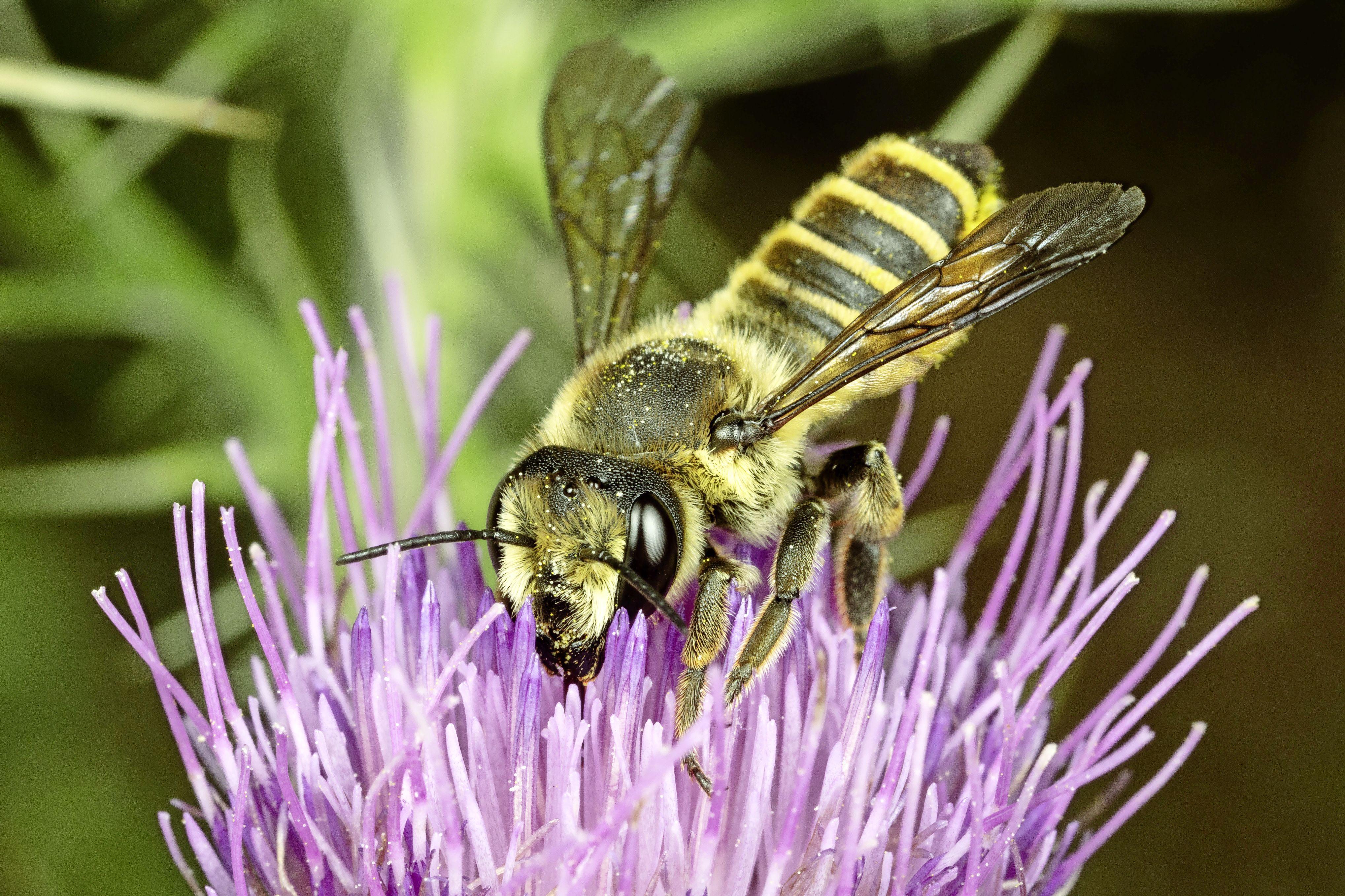Onderzoekers knijpen in hun handen. Nieuwe Nederlandse bijensoort duikt op in Haarlem: 'Daar word je blij van'