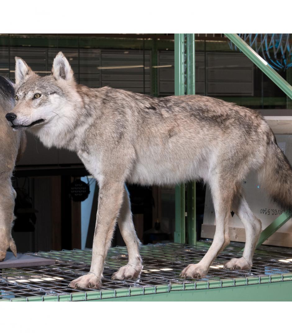 Doodgereden jonge wolf gaat na grondig onderzoek naar Naturalis