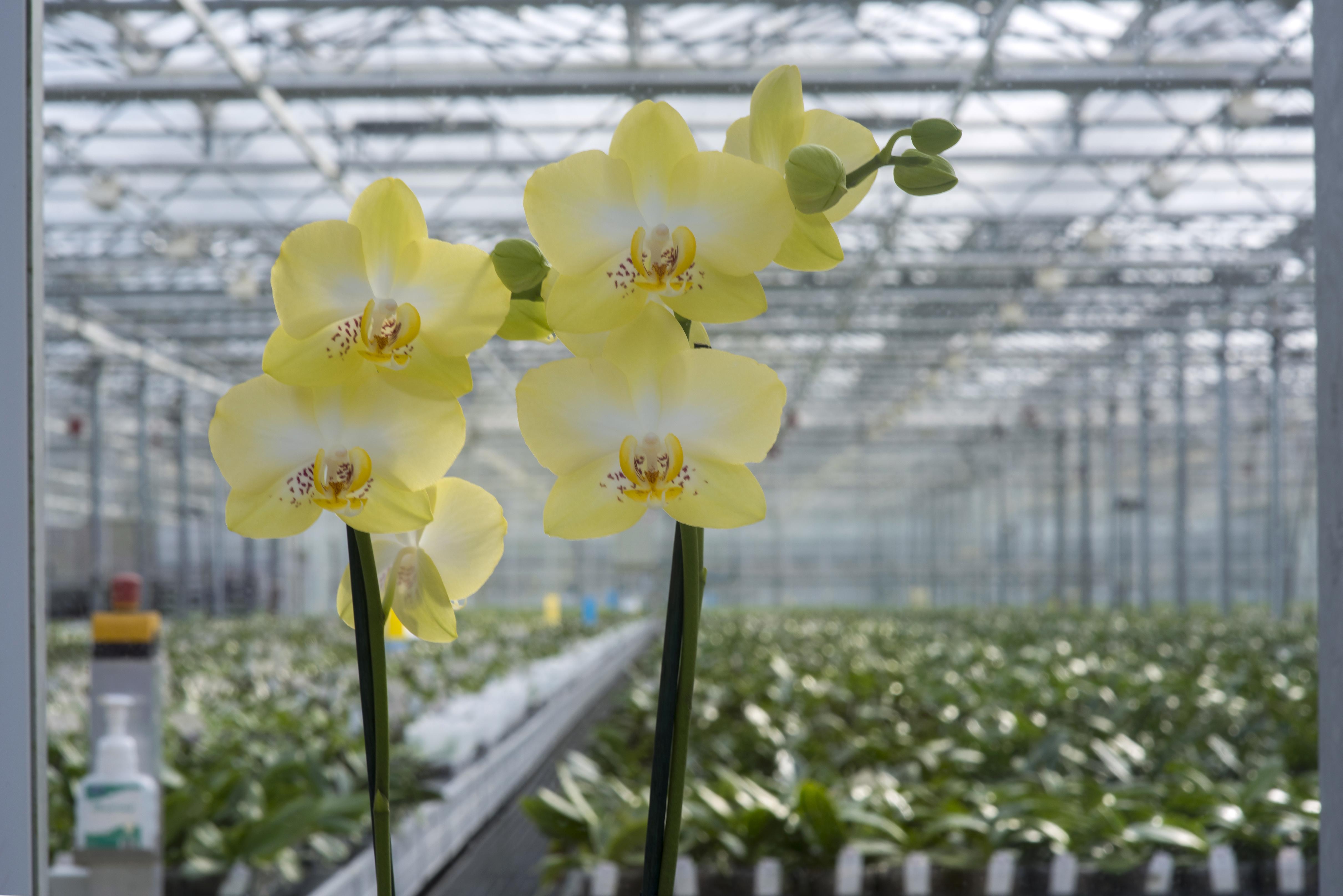 Minstens 35 jaar aardwarmte voor Floricultura voor de duurzame kweek van orchideeën