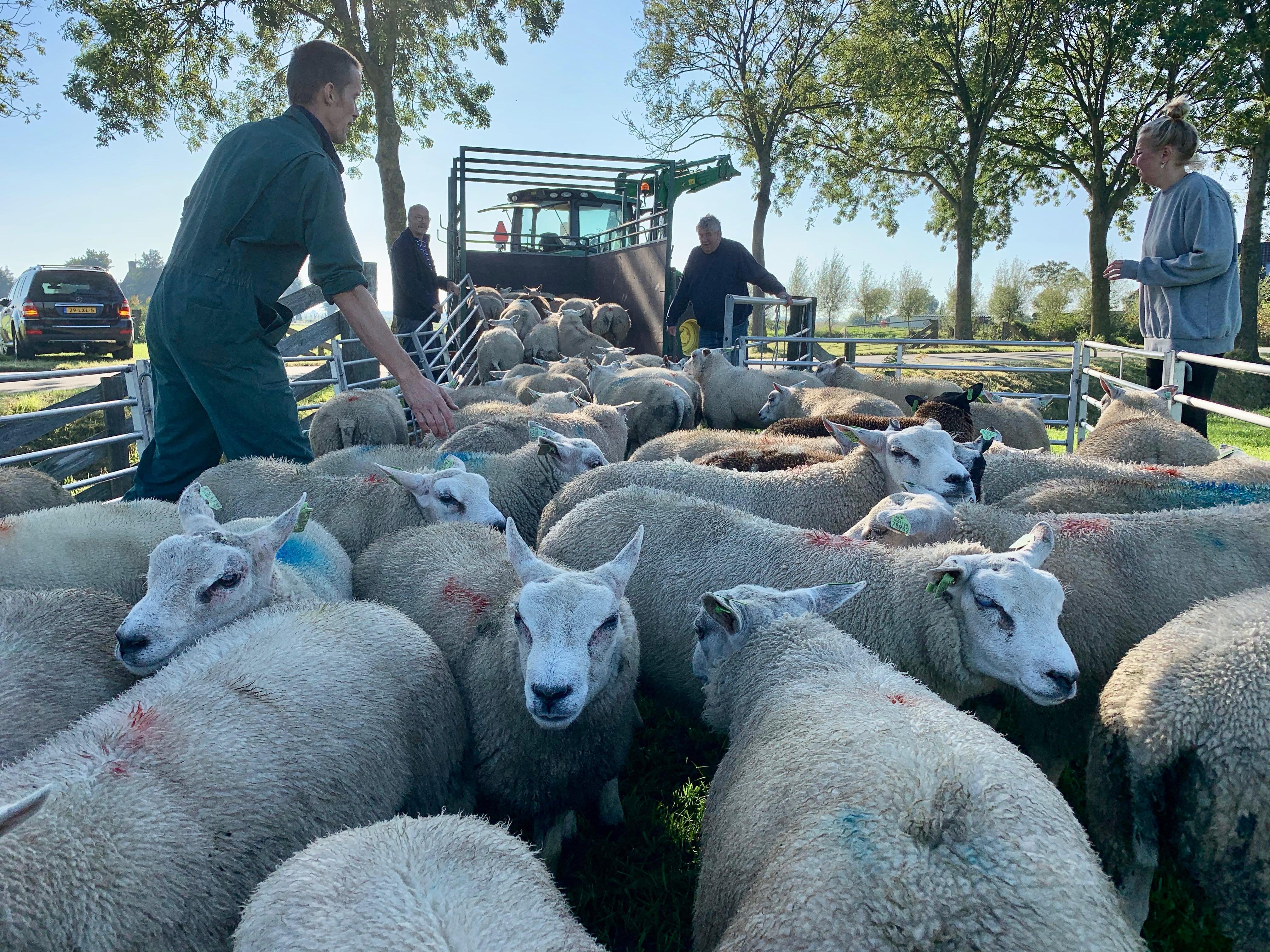 Opschieten! De schapen van Theo verhuizen van de Herenweg richting mals Abbekerks gras