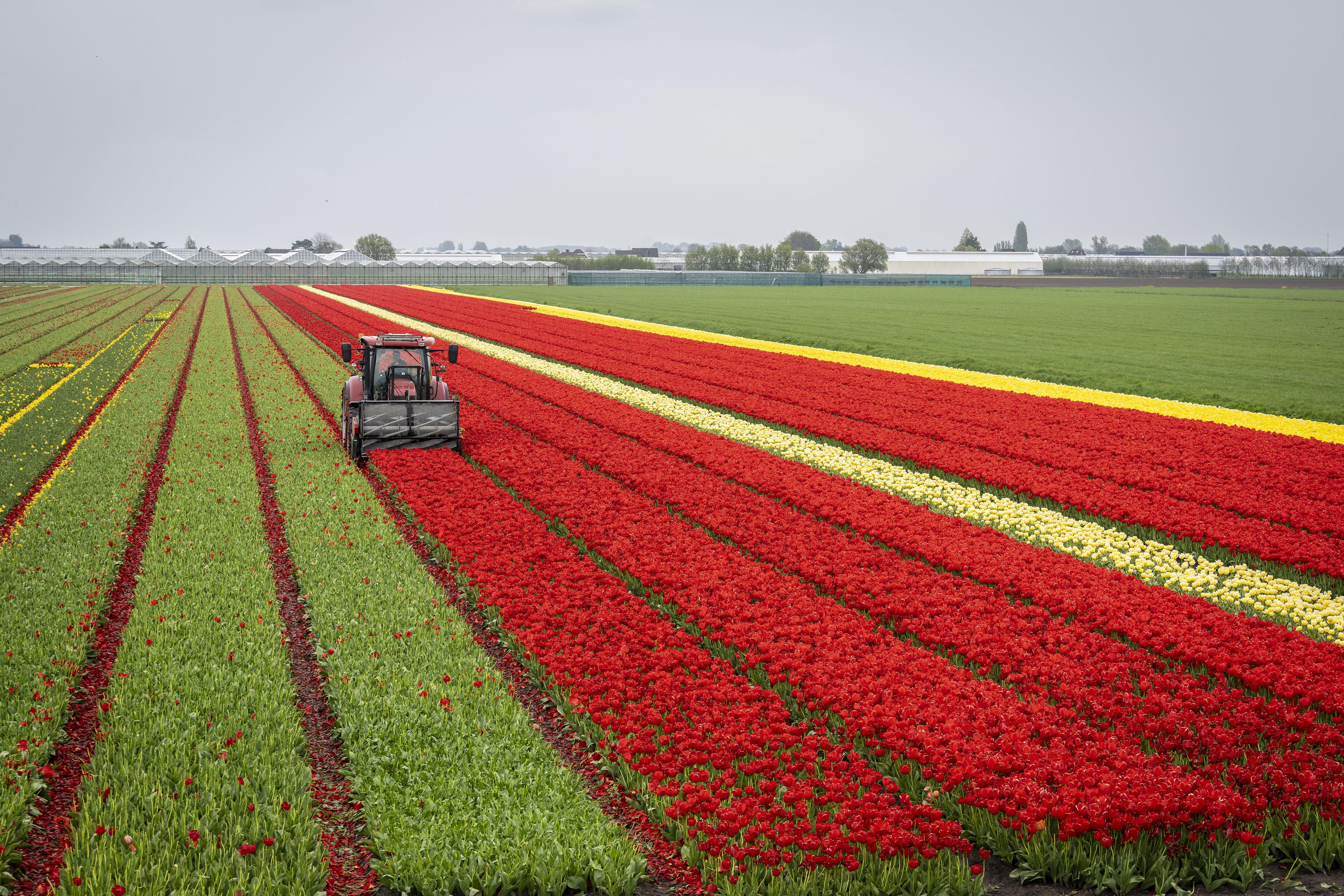 Loeren bij de boeren: Frans van der Slot met kopmachine aan de slag; 'Een mooi en strak groen veld vind ik ook prachtig'