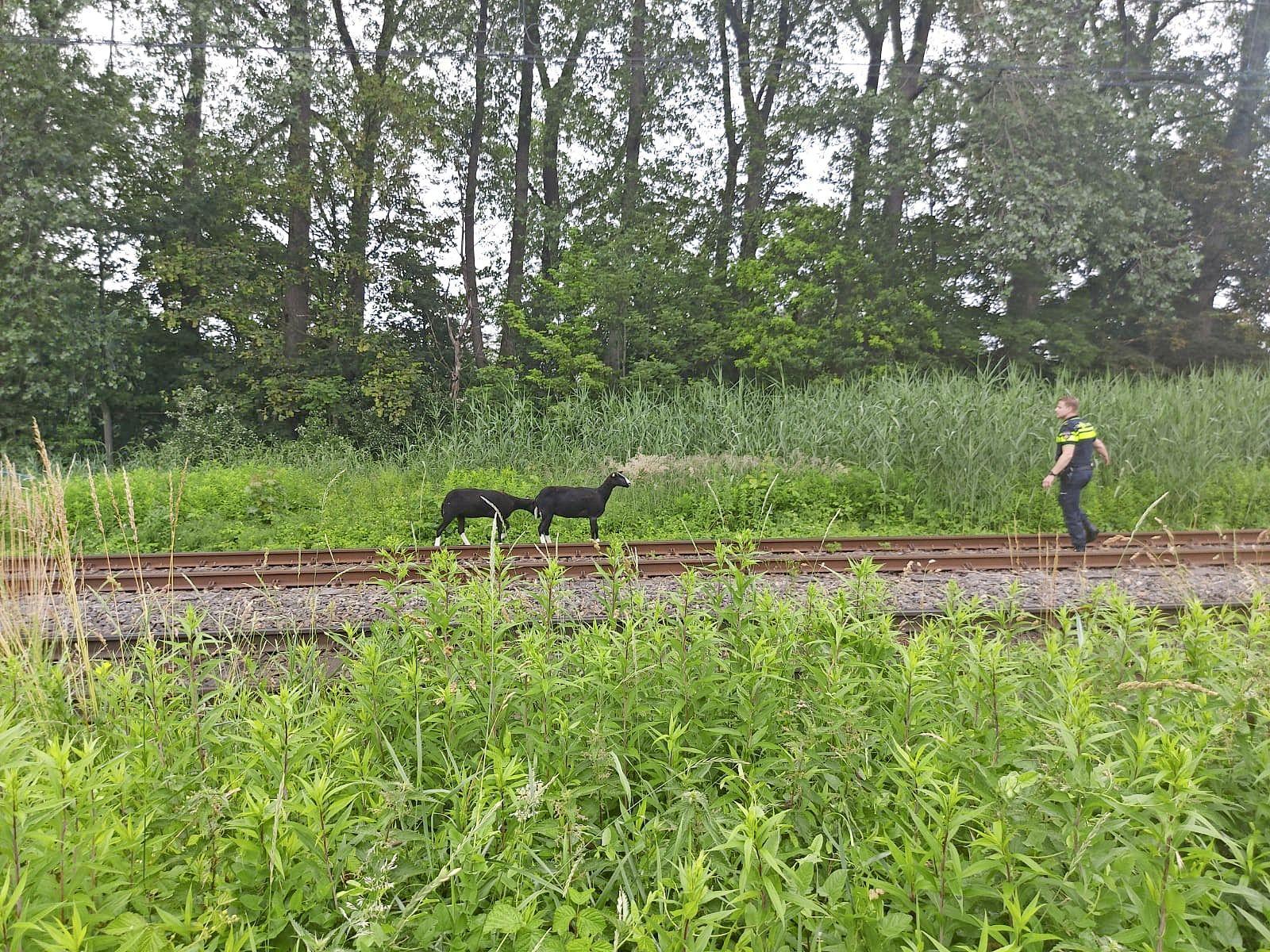 Loslopende schapen leggen treinverkeer tussen Beverwijk en Uitgeest stil