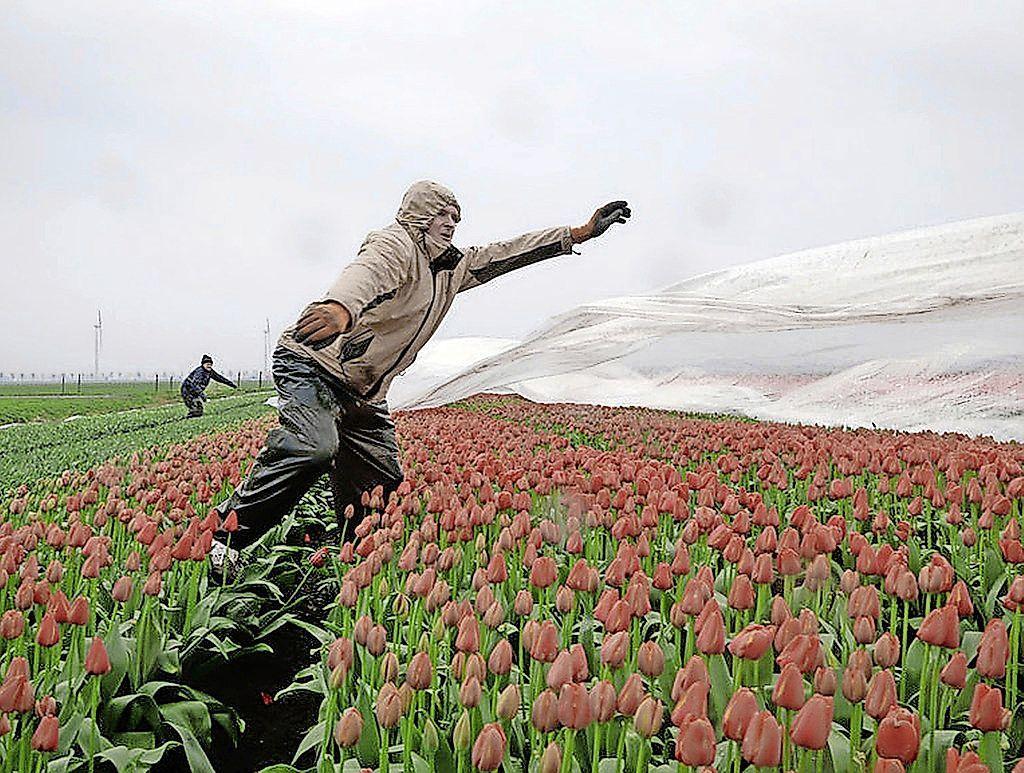 Boeket tulpen zo groot als tien voetbalvelden. Mannen van Jan de Wit etaleren bloemenpracht kleurrijke velden met eigen filmpjes [video]