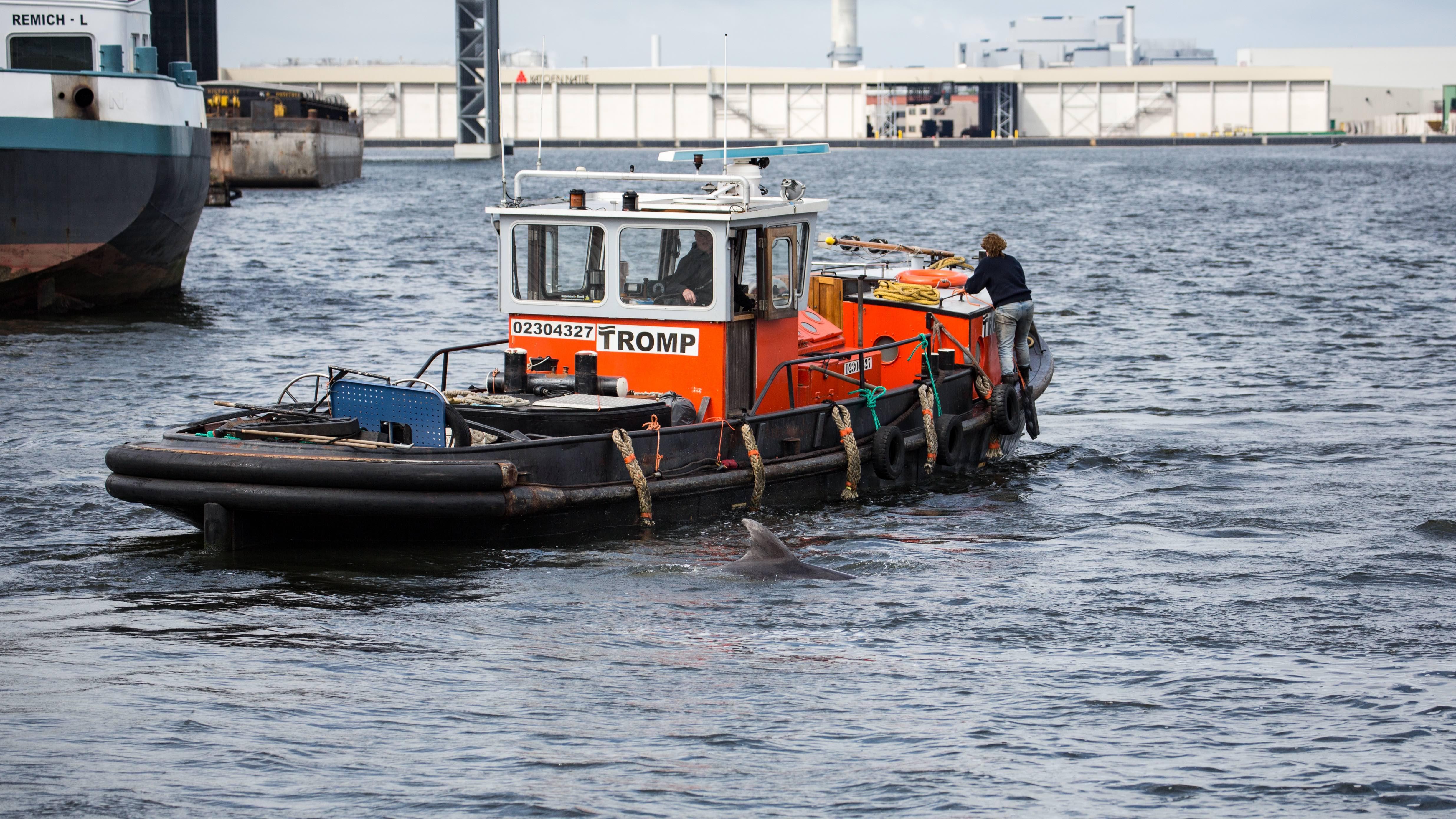 Nieuwe poging dolfijn Zafar via Noordzeekanaal uit Amsterdamse haven weg te krijgen [video]