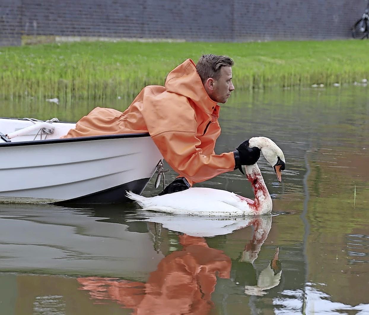 Bijna 10.000 euro voor gewonde zwaan uit Valkenburg