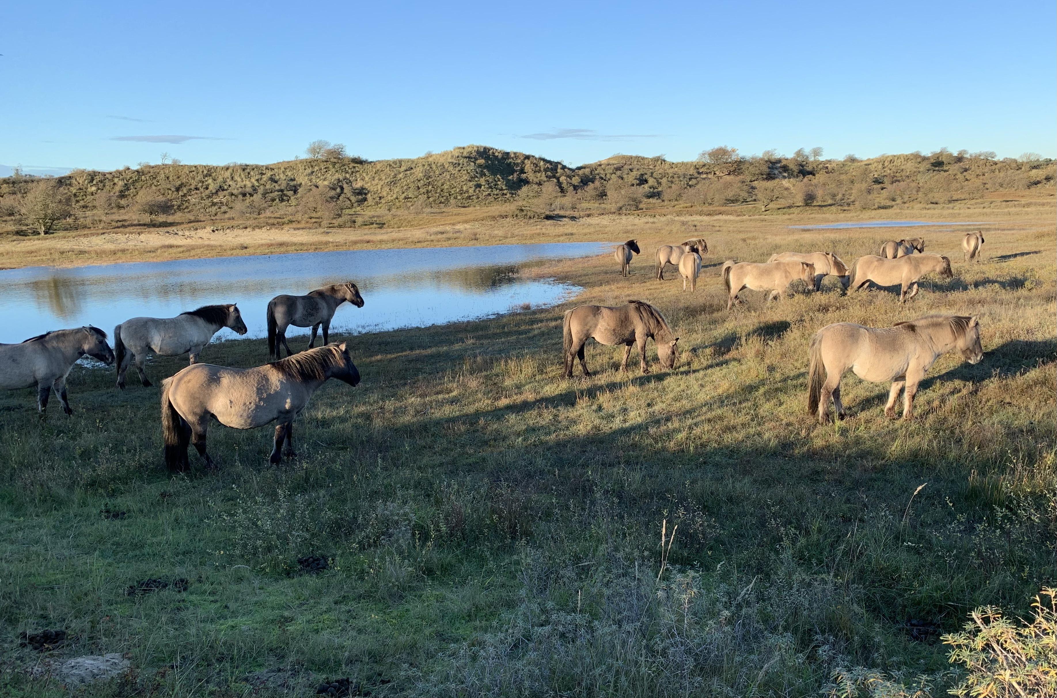 Lezersfoto: Konikpaarden langs de Zeeweg