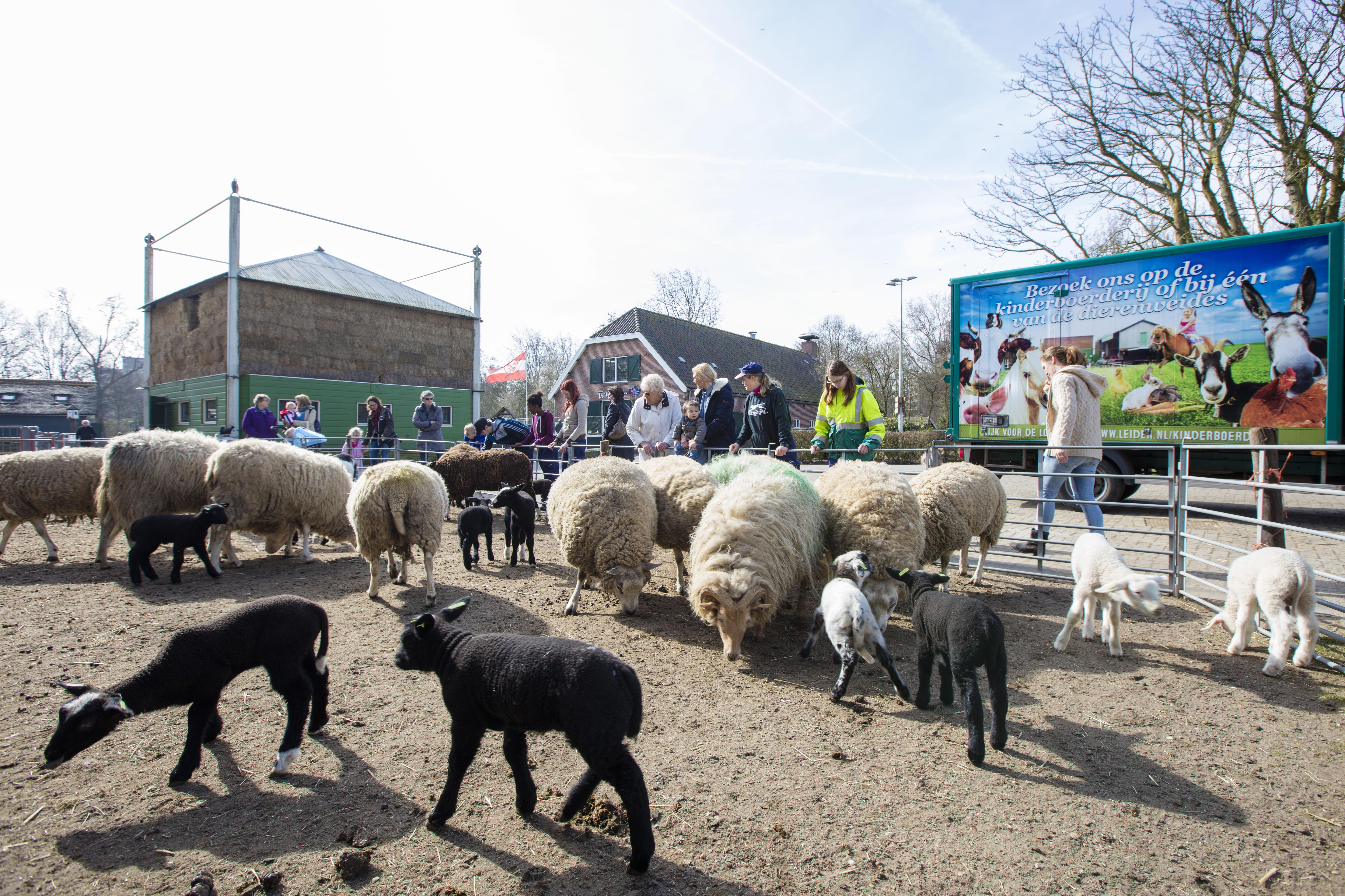 Deel lieve lammetjes in Merenwijk eindigt in slachthuis, waarschuwt jongerenorganisatie Veggiesquad