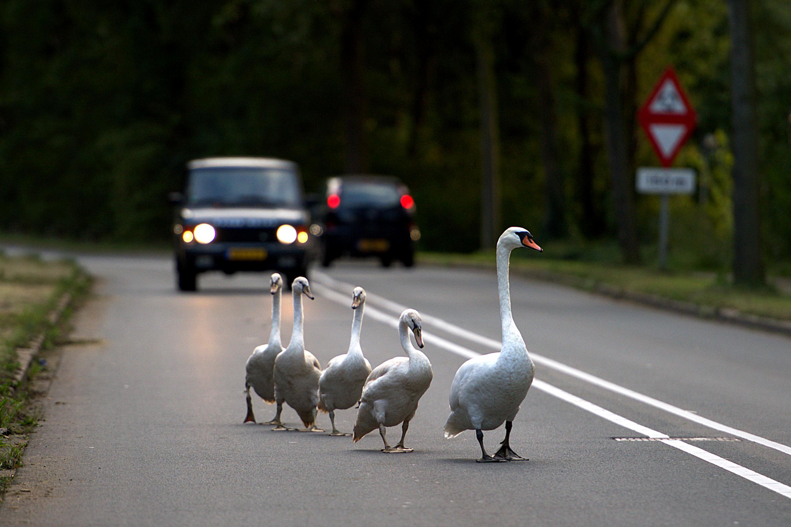 Zwanen aan de waggel op Hilversumse Meentweg