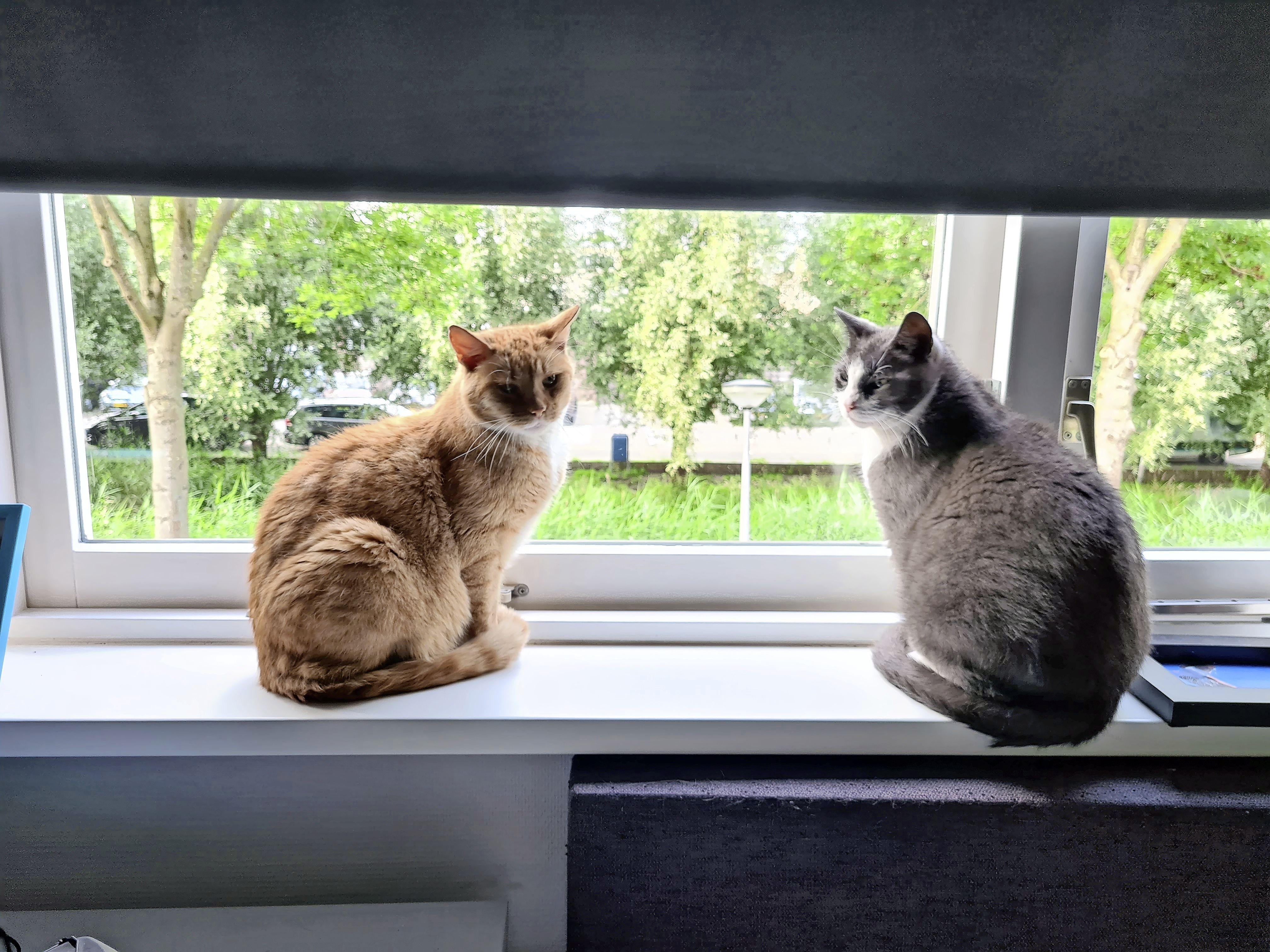 Lissese kat na twee jaar gevonden in Sassenheim en terug bij dolgelukkige baasjes