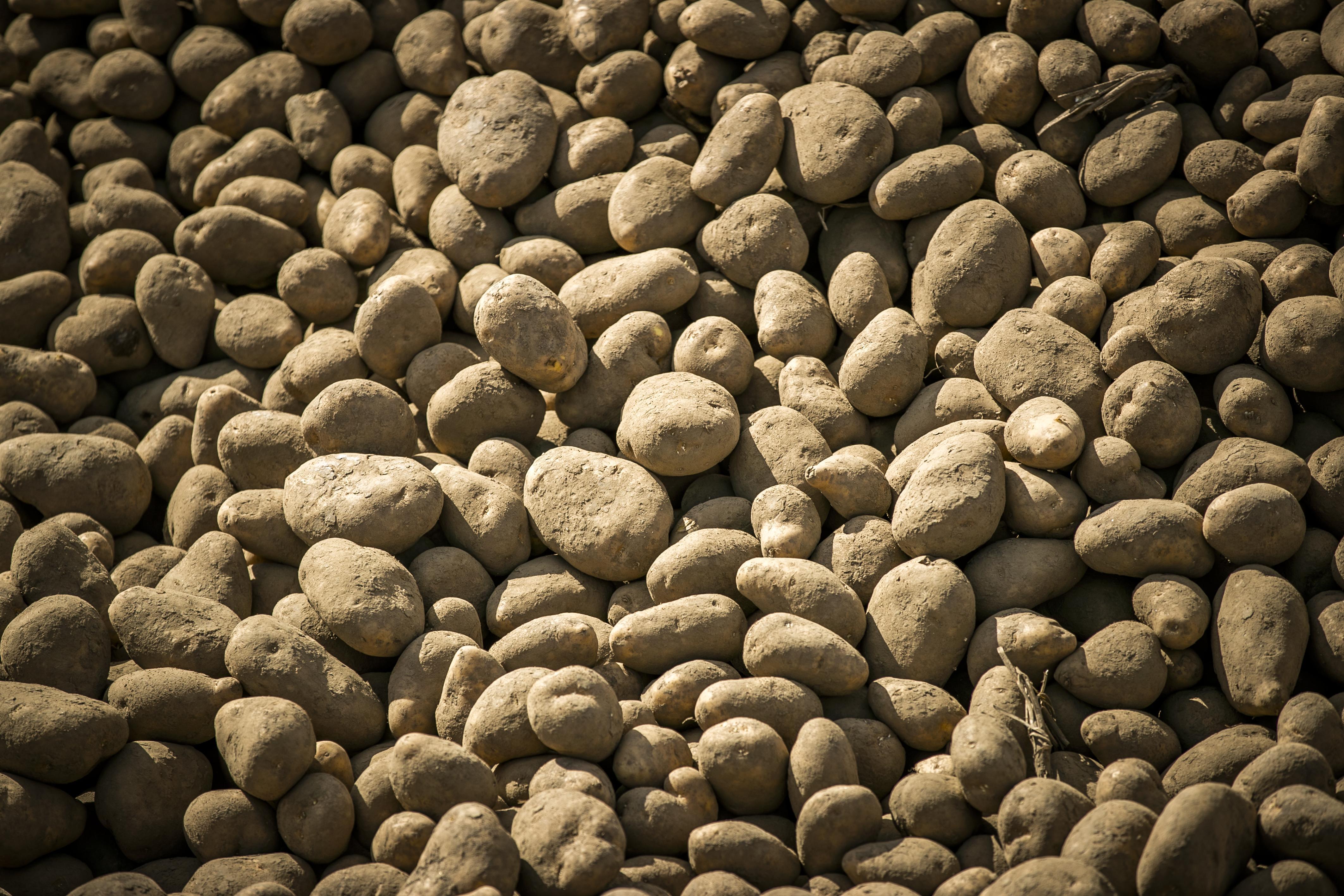Haarlemmers mogen aardappels scheppen in Schalkwijk: duizenden kilo's liggen klaar