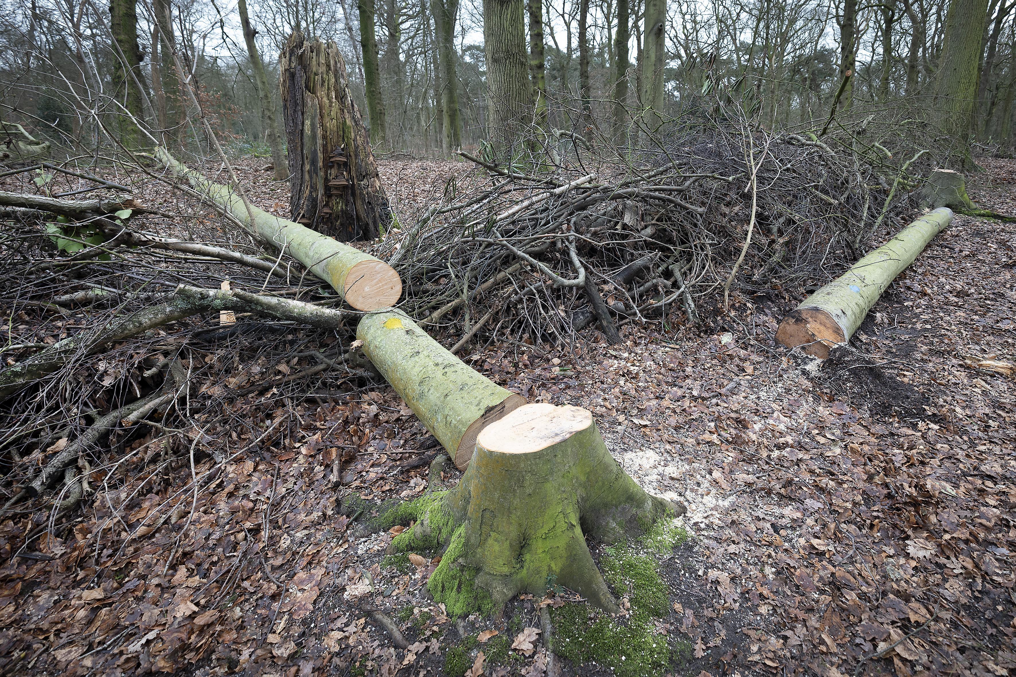 De beuken en de esdoorns gaan eruit: Er zit een gedachte achter 'kaalslag' Groenendaalse Bos in Heemstede