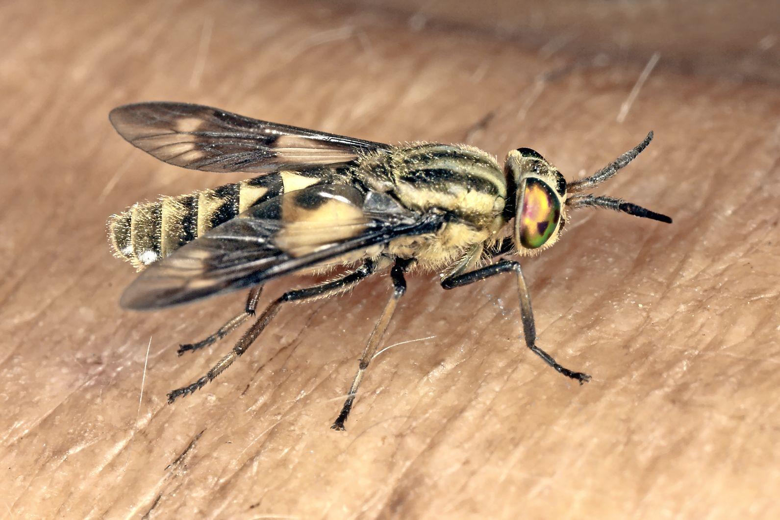 Hilversummer aangevallen door horde insecten op Hoorneboegse Heide: 'Honderden meters op de vlucht voor stekende bromvliegen'; volgens insectenkenner hebben dazen mensenbloed nodig voor eitjes