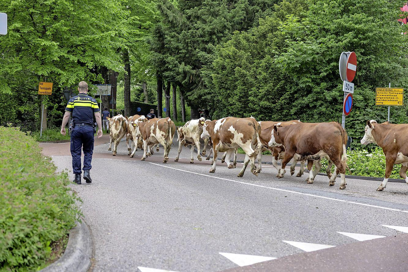 Politie sluit weg in Overveen af vanwege vijftien loslopende koeien