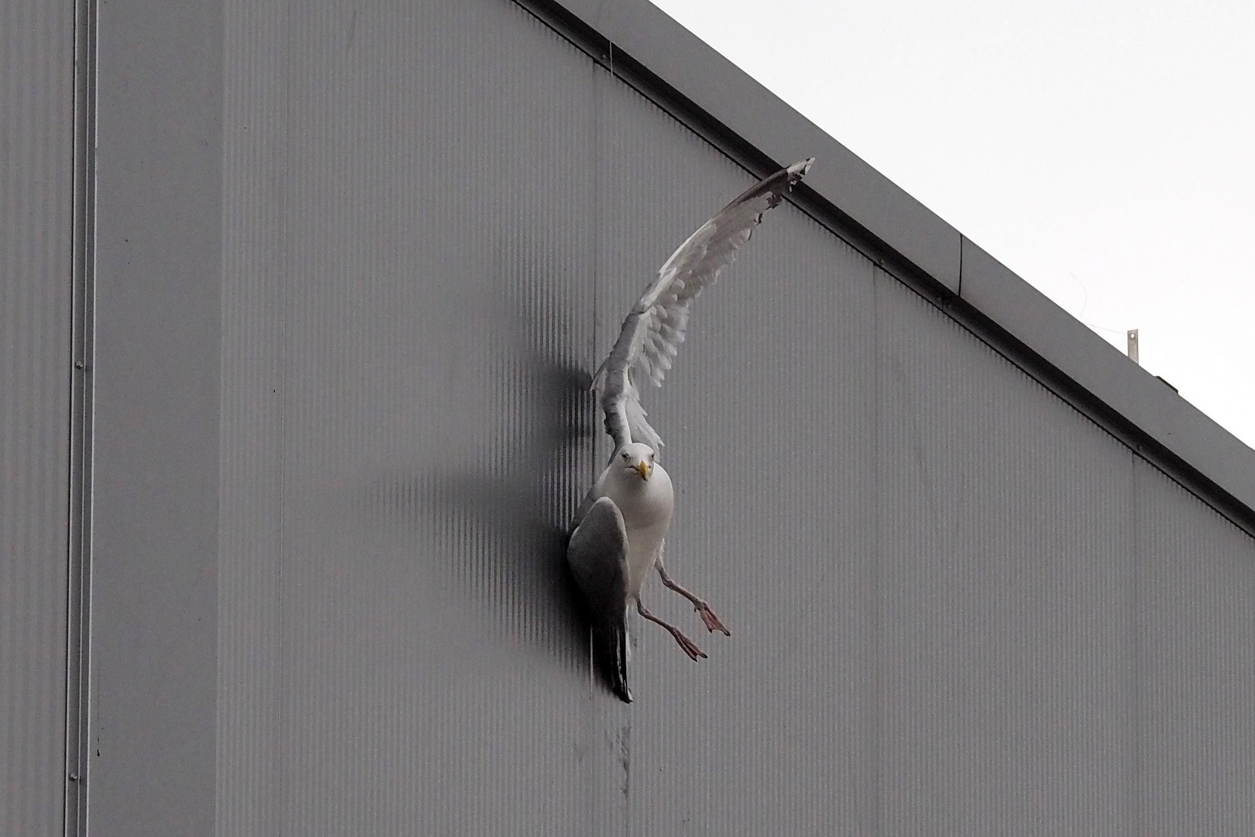 Reddingsactie voor meeuw bungelend aan dun draadje aan dak IJmuiden
