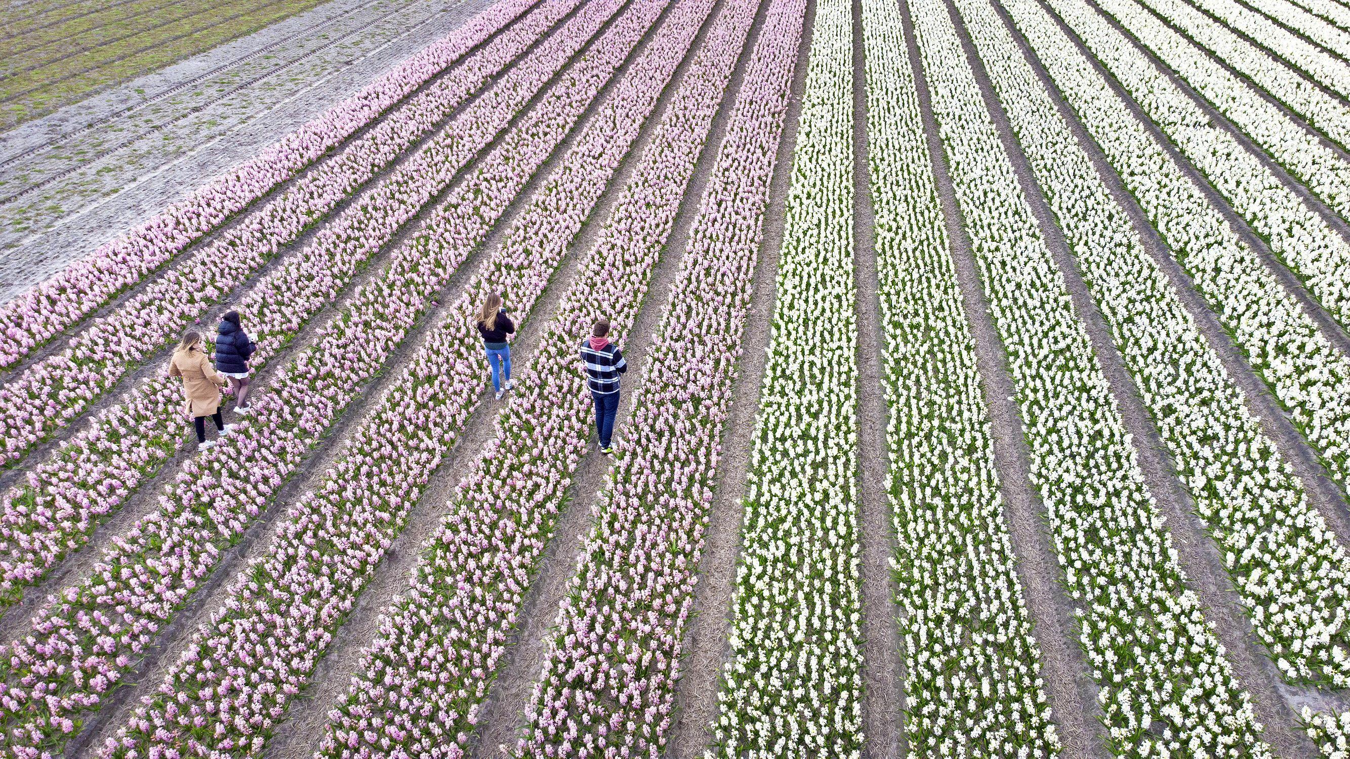 Bollenvelden vol dagjestoeristen: 'Niet om te genieten van de bloemen, maar voor de perfecte foto op Instagram'