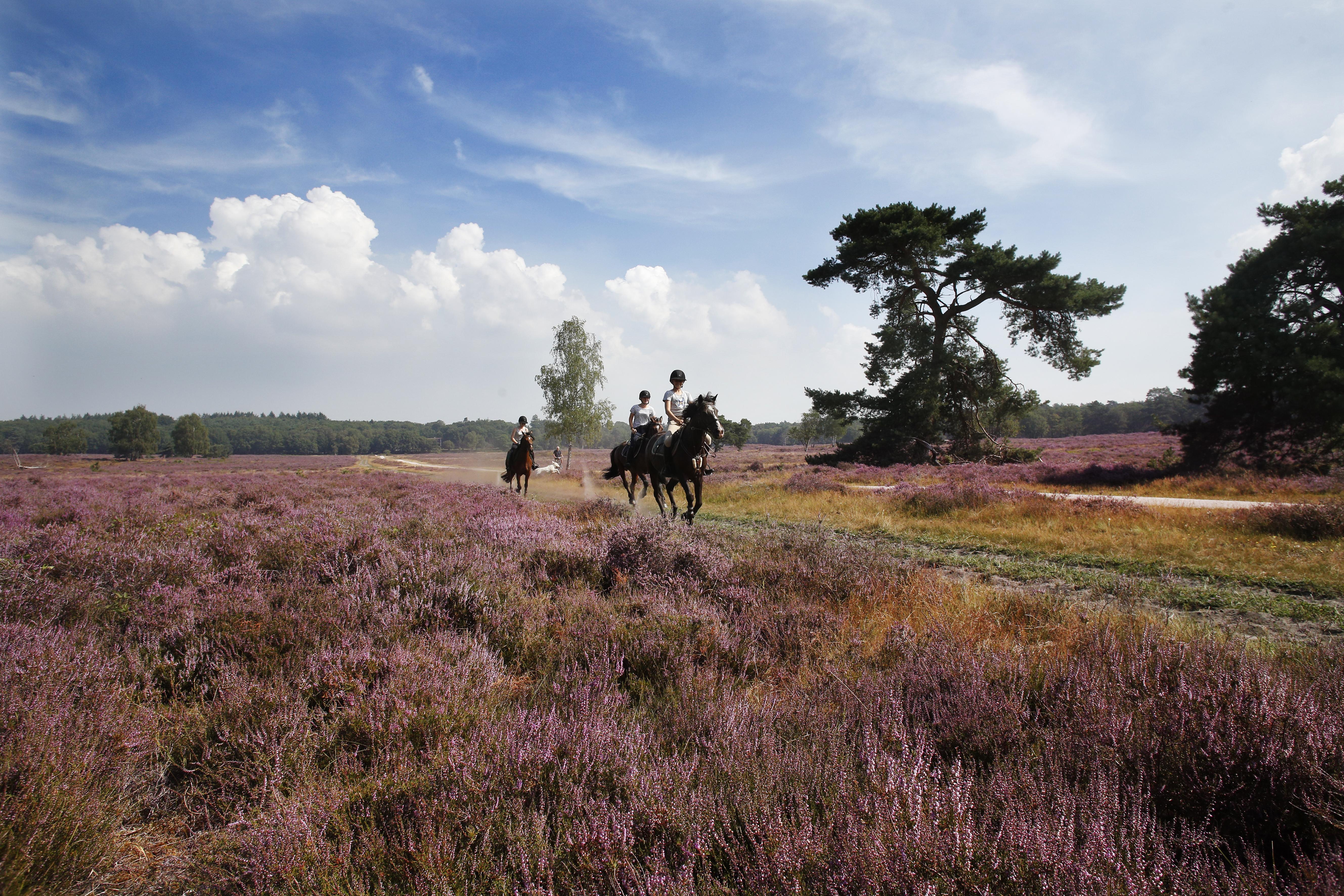 Droogte krijgt geen vat op bloei: heide kleurt weer prachtig paars