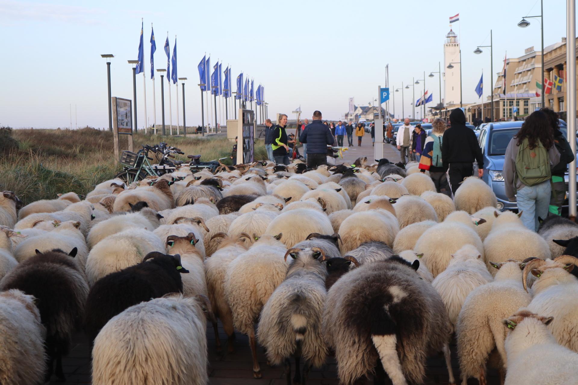 Grote kudde schapen van Katwijk door naar Noordwijk [video, foto's]