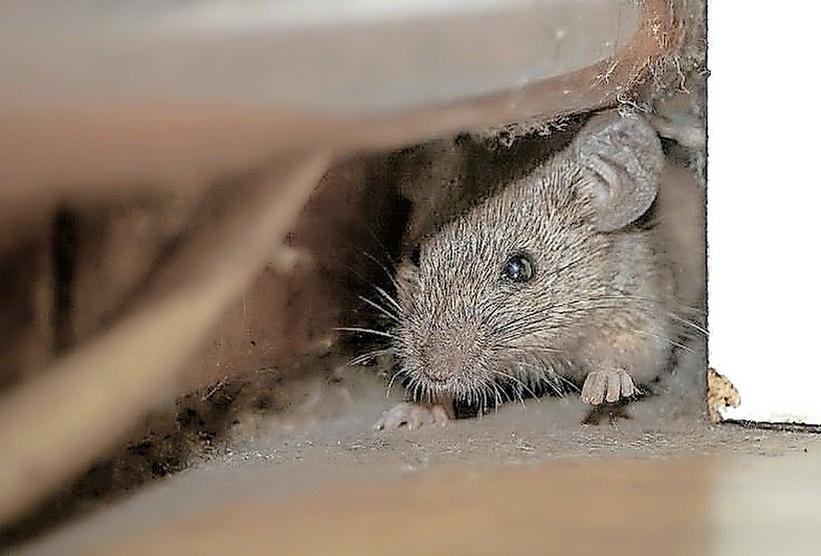 Een supermarkt moest tijdelijk dicht omdat de muizen op tafel dansten. De politiek in Hoorn vraagt om aandacht voor het probleem. Vijf vragen over de (vermeende) muizen- en rattenplaag in West-Friesland