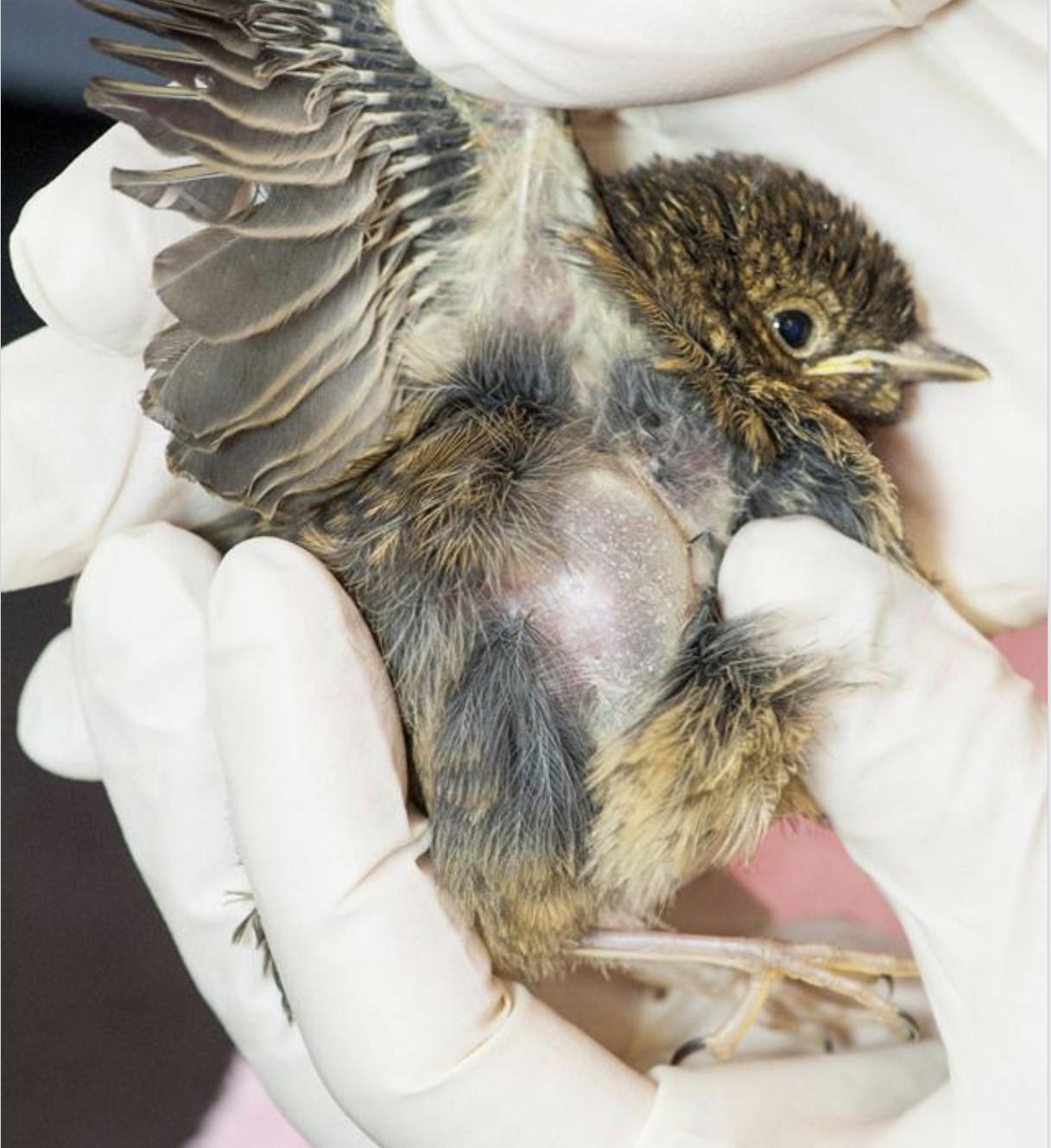 Driekwart van vogels die het Vogelhospitaal ontvangt overleeft kattenaanval niet: 'Het worden er alleen maar meer, want het hoogseizoen is net begonnen'