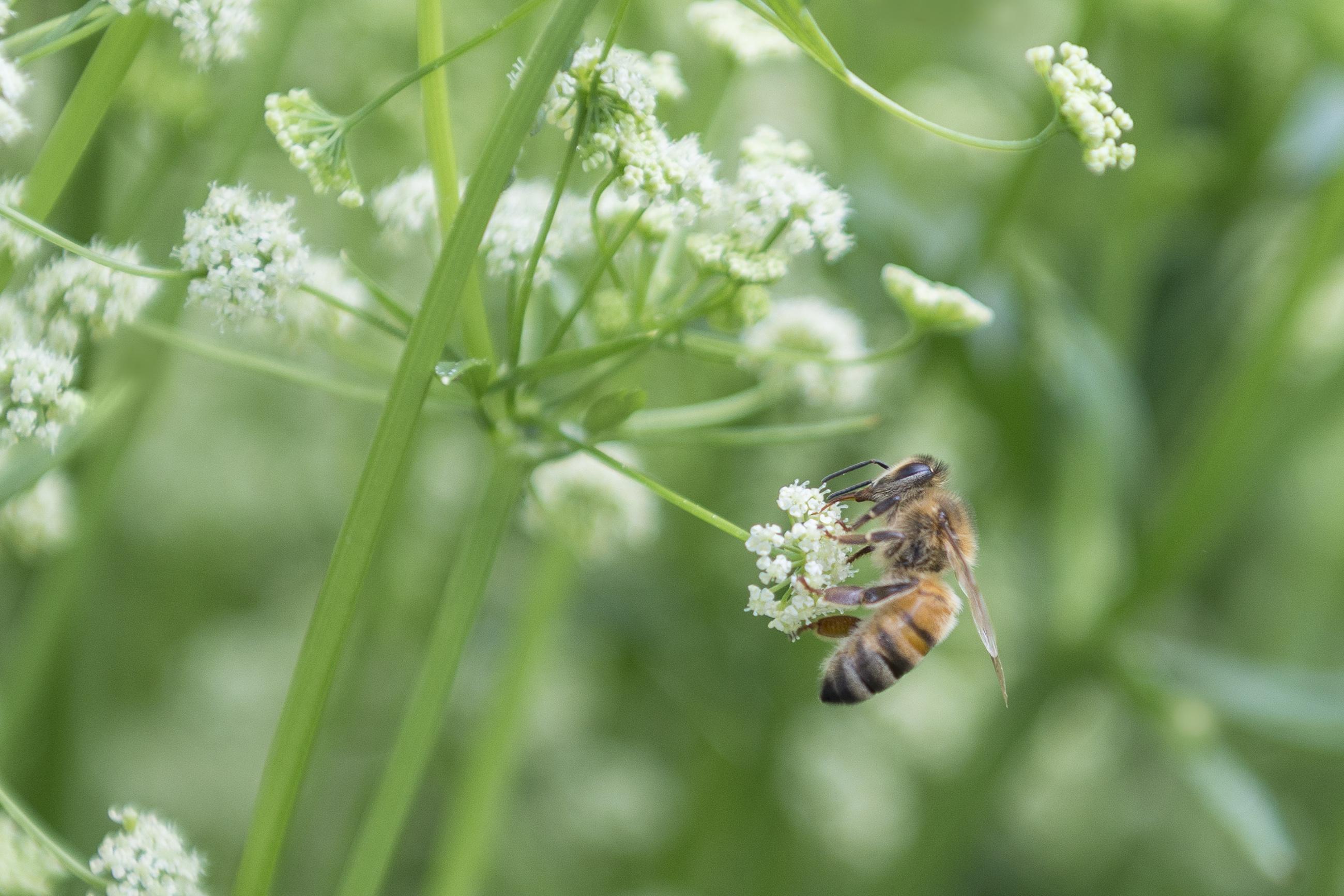 Nauwelijks sterfte onder bijenvolken van groentezaadveredelaar Bejo op waterschapsterreinen in Alkmaar, Warmenhuizen en De Stolpen: 'Bestuivertjes' doen het goed op A-locaties