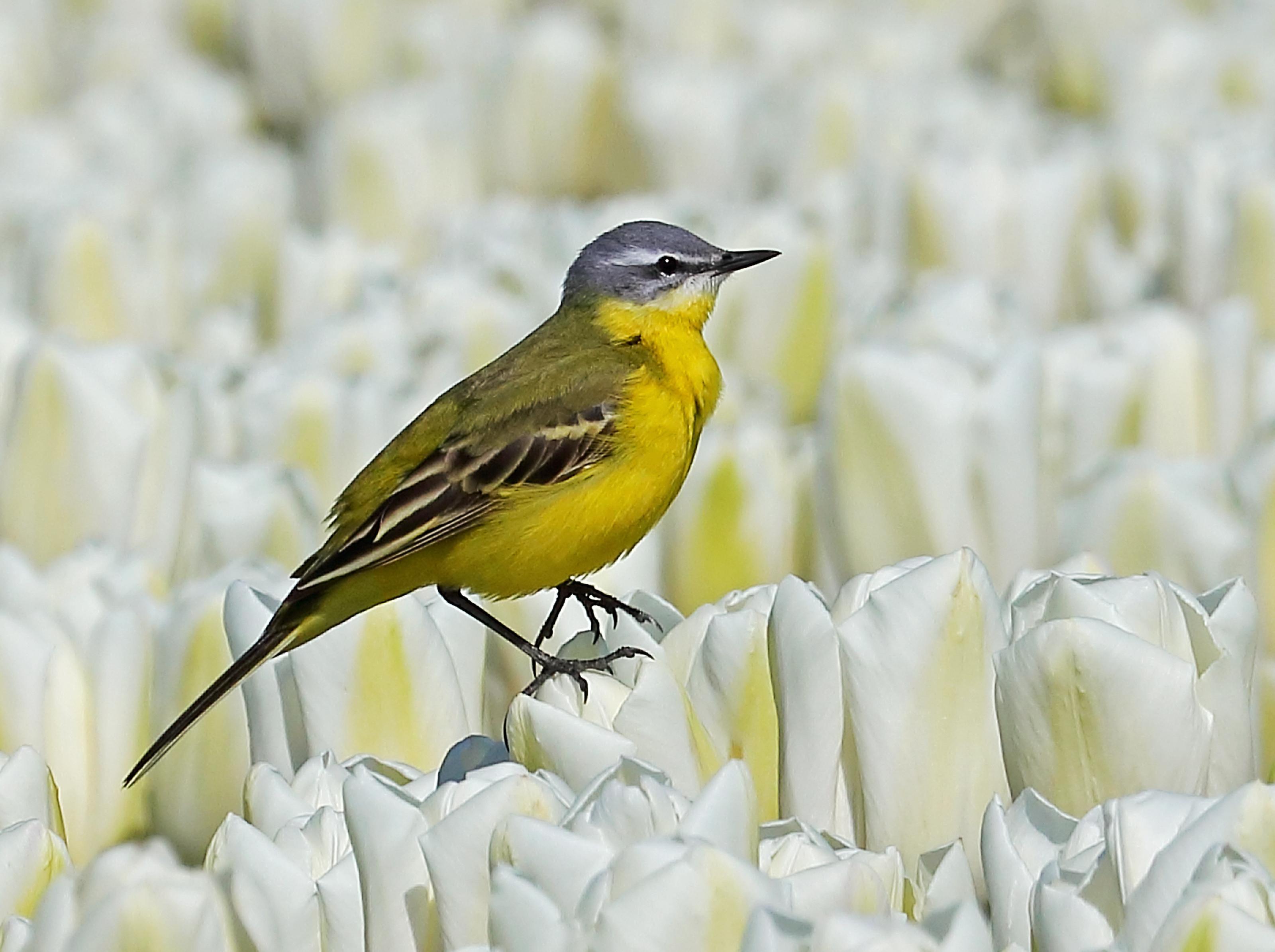 Gele kwikstaart steelt show in bloeiend tulpenveld tussen Twisk en Broerdijk