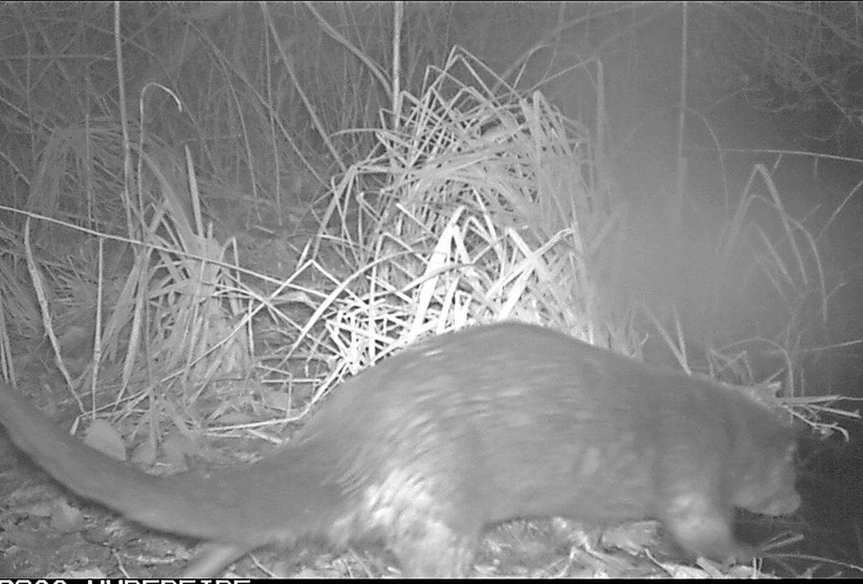 Otter zwermt uit: ook in Ankeveense Plassen een exemplaar gezien