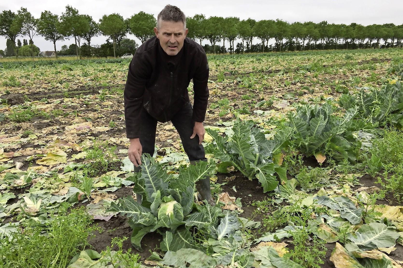 Ganzen vreten bloemkolen op en poepen ze onder: duizenden euro's schade voor Andijker tuinder