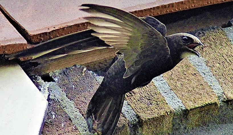 De gracieuze gierzwaluw is een aparte. Hij doet alles in de lucht, ook paren en slapen. Er vliegen er nu 136 rond in Den Helder