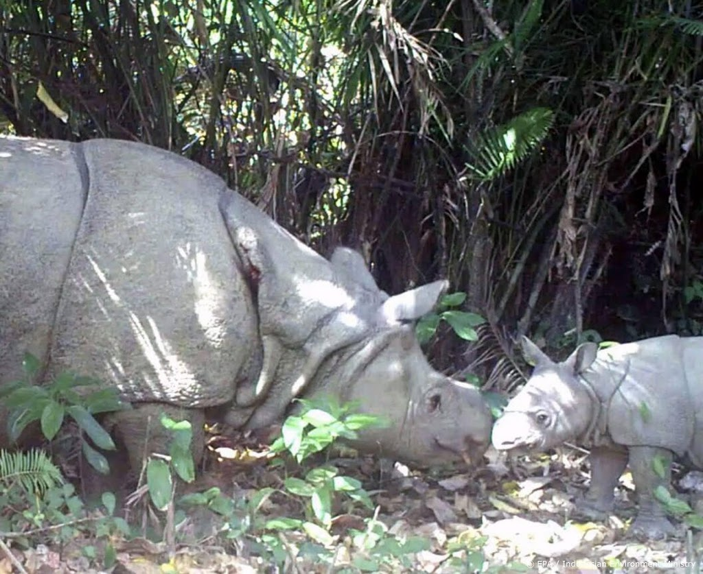 Kalveren van zeer bedreigde Javaanse neushoorn gespot