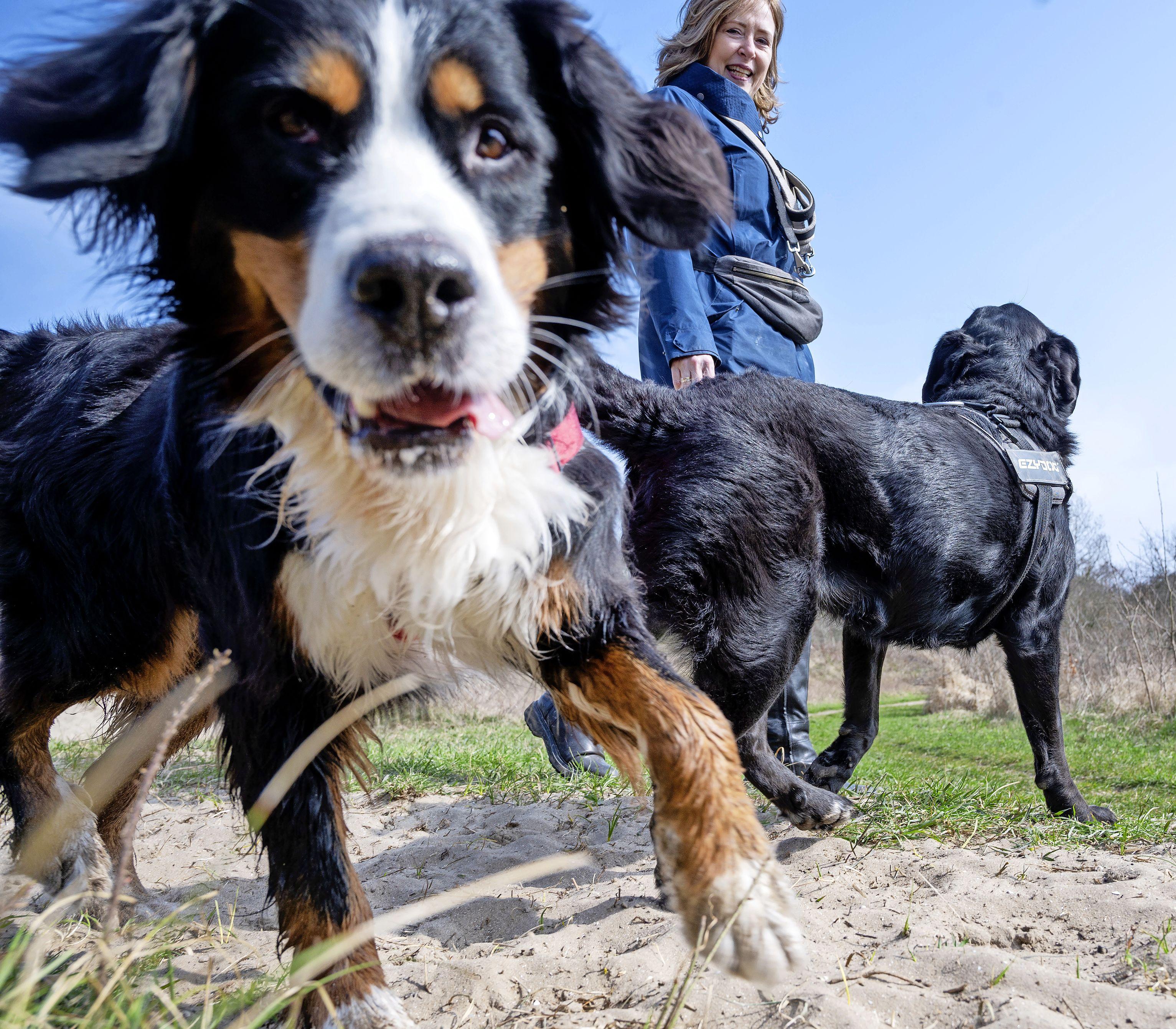 Honden toch aan de lijn bij Bokkedoorns: 'Hier hebben we geen begrip voor. Het is de enige plek in de duinen waar ze lekker kunnen zwemmen en loslopen'