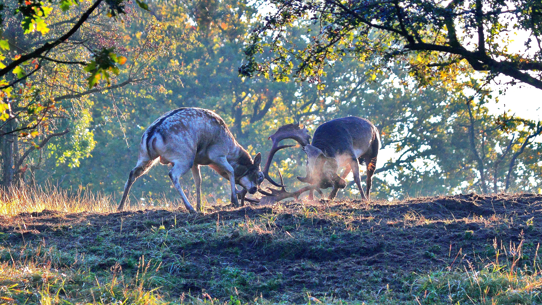 Seks en strijd in het hertenrijk: oktober is een broeierig maandje voor de damherten in de Amsterdamse Waterleidingduinen