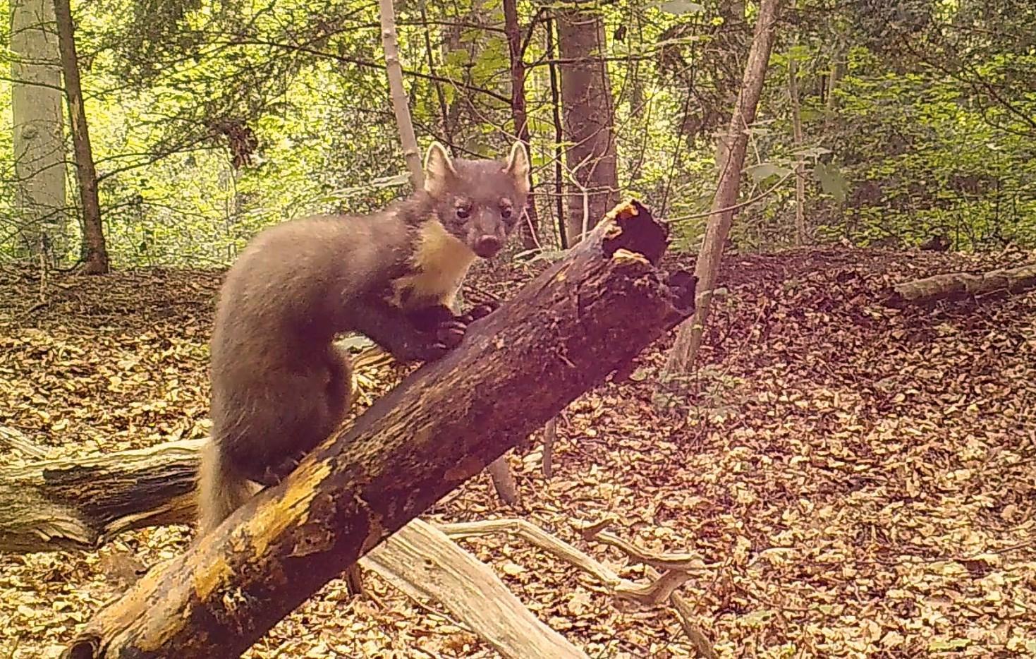 Tientallen boommarters in Bloemendaalse bossen. Dankzij pindakaas komt geheimzinnig roofdier soms tevoorschijn [video]