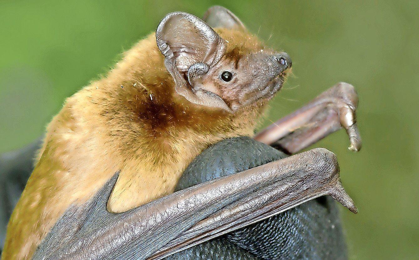 Ook vleermuis helpt mee in strijd tegen eikenprocessierups: kasten geplaatst in Blaricum en Eemnes