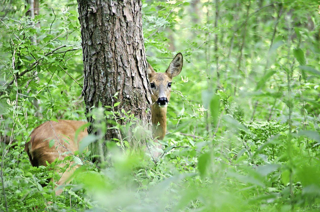 Wild kijken met de boswachter op Buitenplaats Leyduin