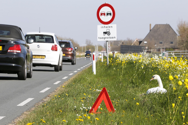 Een veilige en rustige broedplek? Niet voor dit zwanenpaar, dat broedt langs de doorgaande weg bij Petten. Ze kregen wel een eigen gevarendriehoek