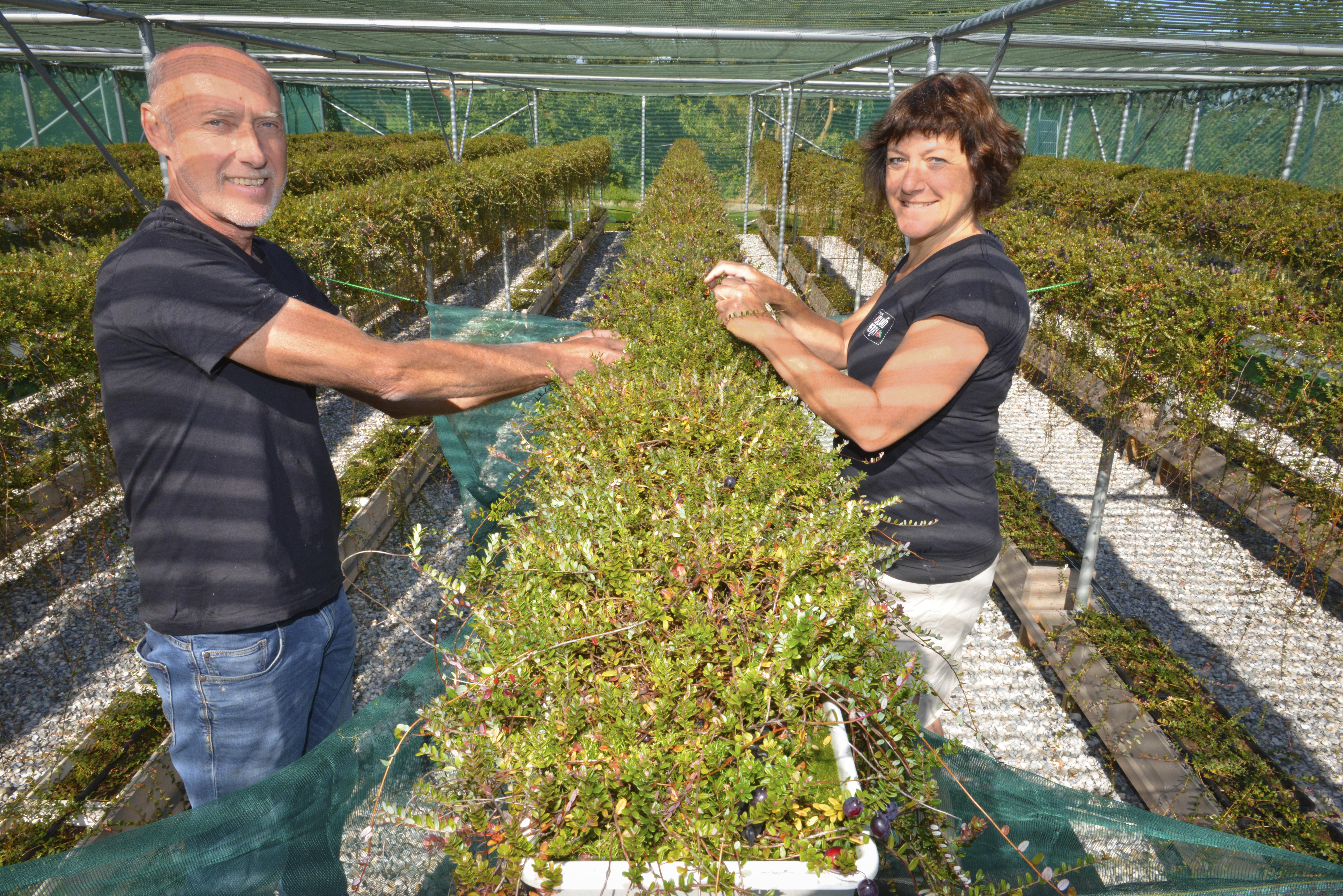 Eerste Texelse cranberryoogst smaakt naar meer. Met hangende teelt hebben Jan en Jantina Buijs de teelt in hun vingers