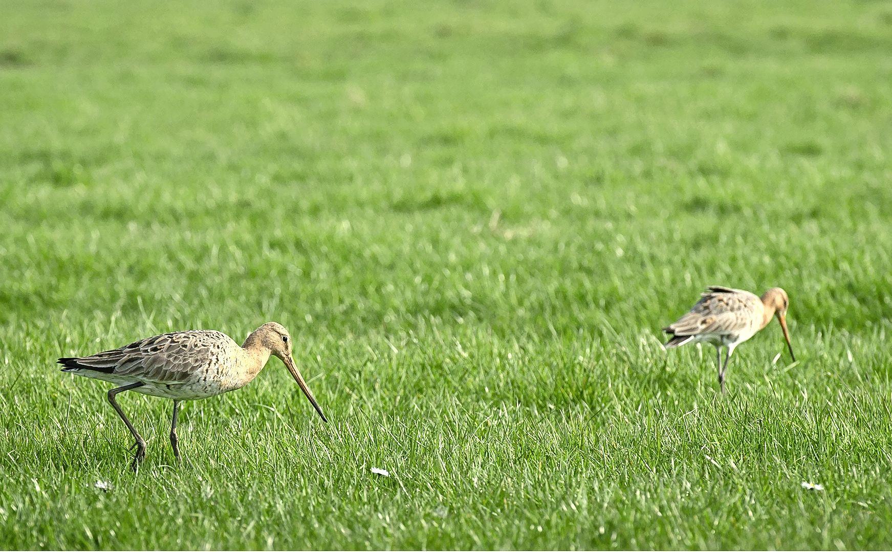 Vaartocht naar de weidevogels in het Wormer- en Jisperveld