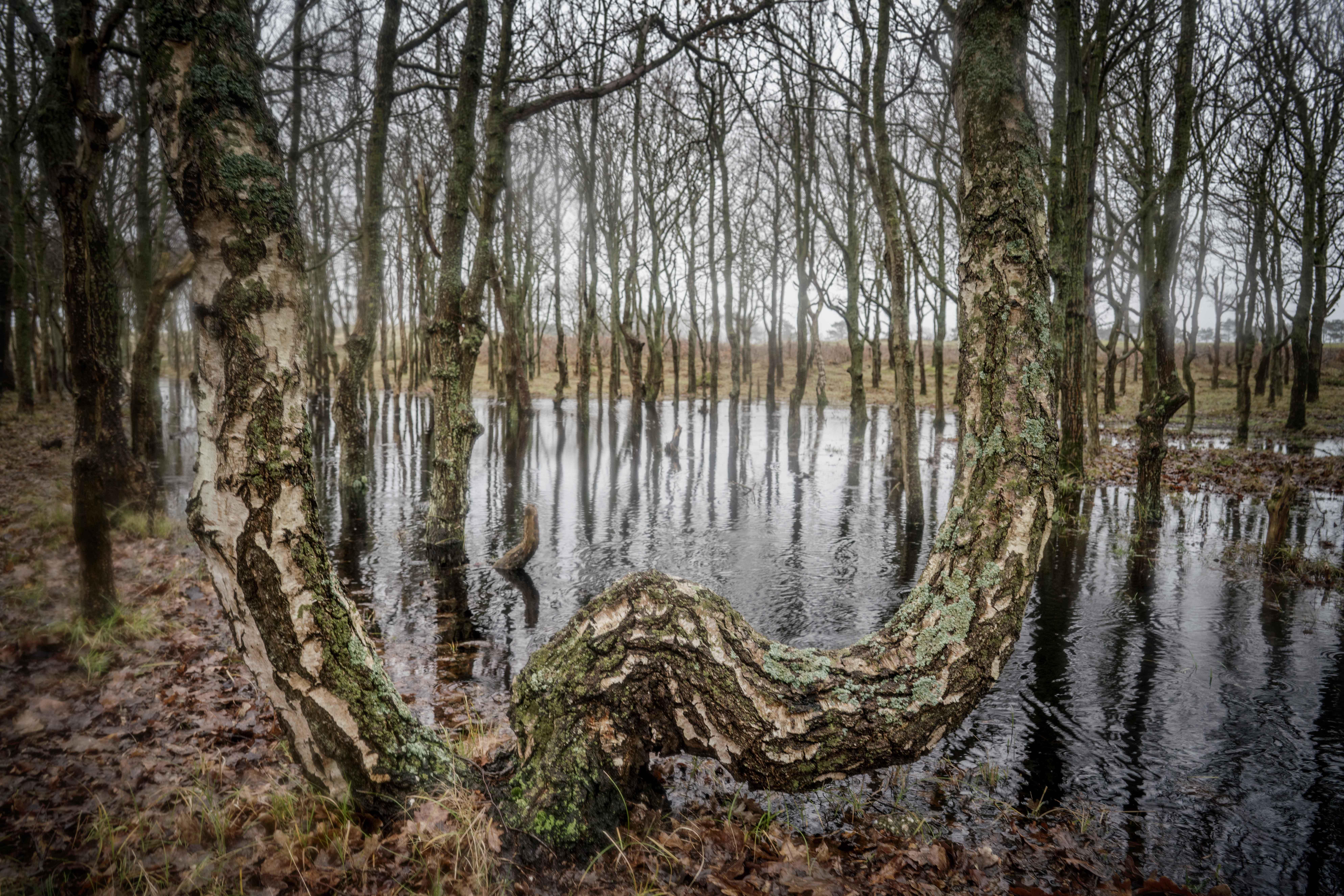 Een mangrovebos in Den Helder? Bomen in de duinen halen natte voeten, maar ze kunnen het hebben. En fotogeniek is het