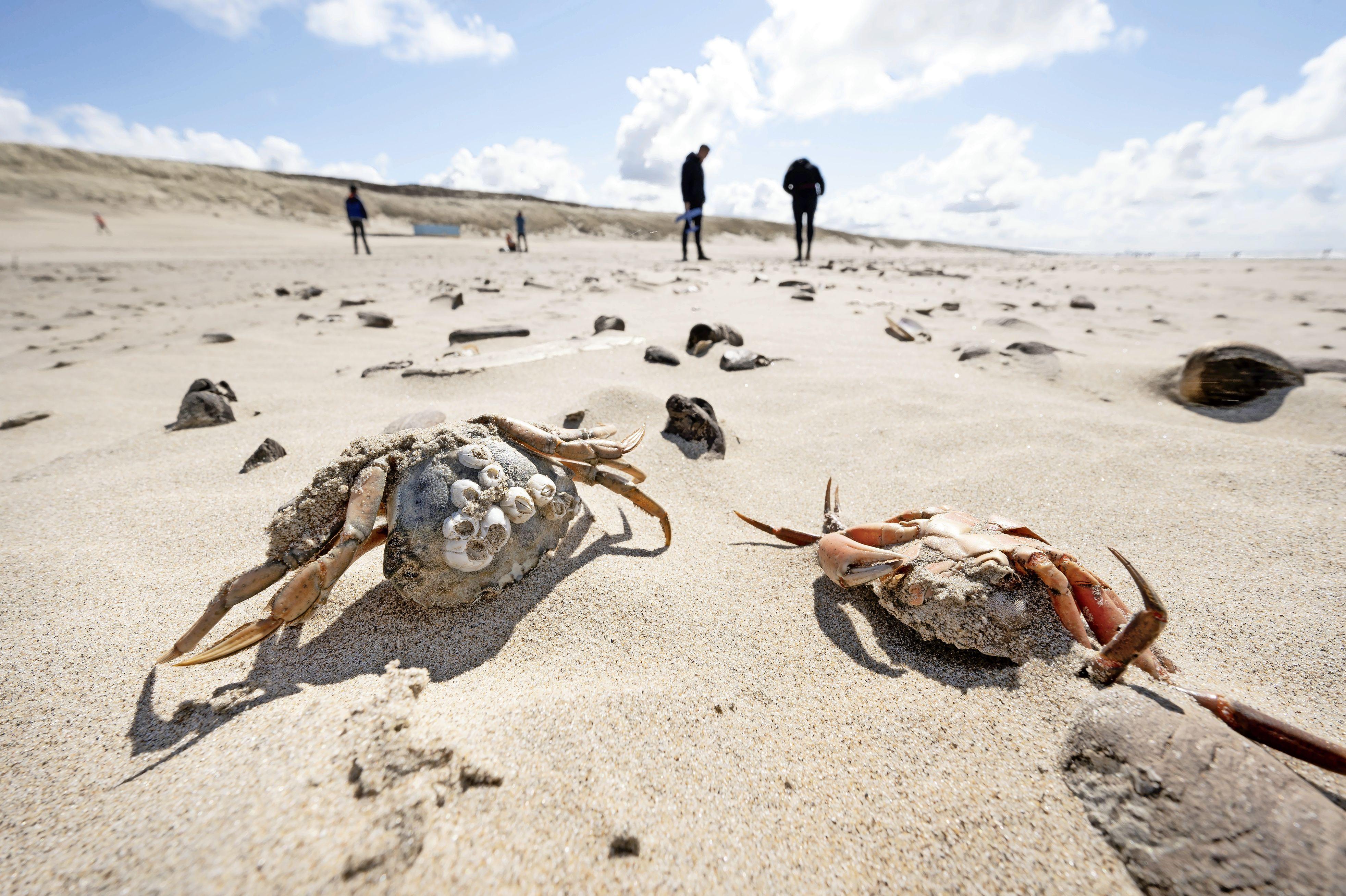 Zeepaardjes, zee- en slangsterren spoelen massaal aan op de Noordzeestranden