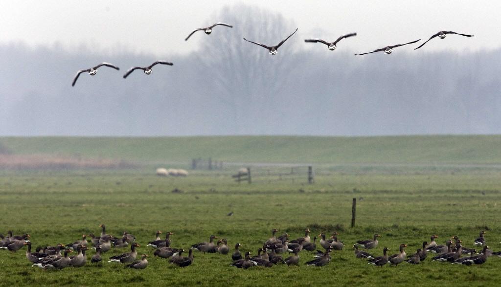 Dertien ganzen doodgereden in Onderdijk