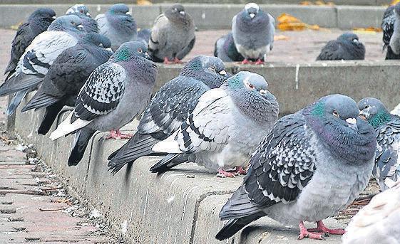 De duiven van mijn broertje lieten zich niet foppen | column