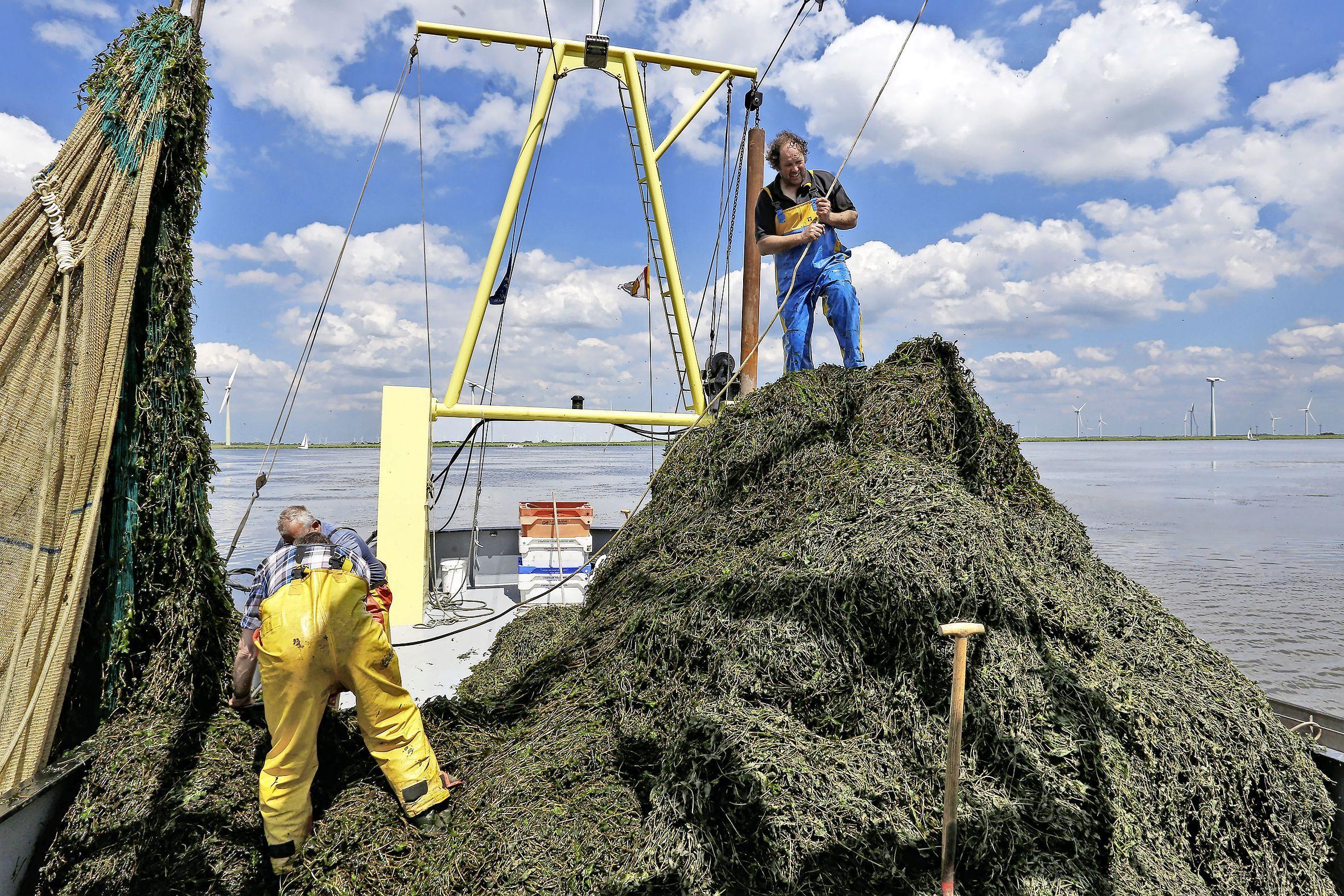 Edam-Volendam en Waterland gaan strijd aan met waterplanten in Markermeer; nog zeven gemeenten doen mee