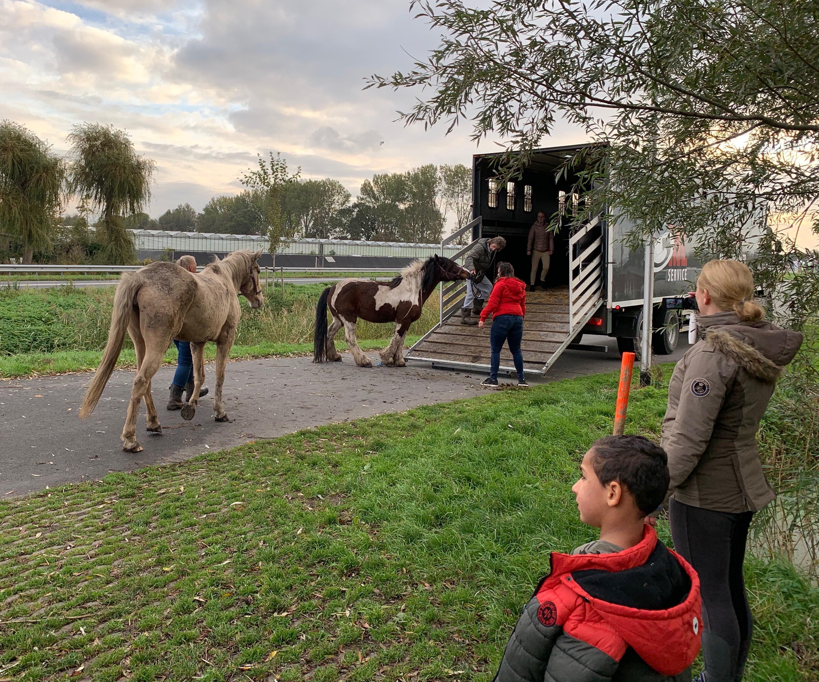Zelfs met de weerspannige IJslander Max loopt het allemaal goed af: stichting Paardenhoefjes brengt zestien dieren naar een droge stal [video]