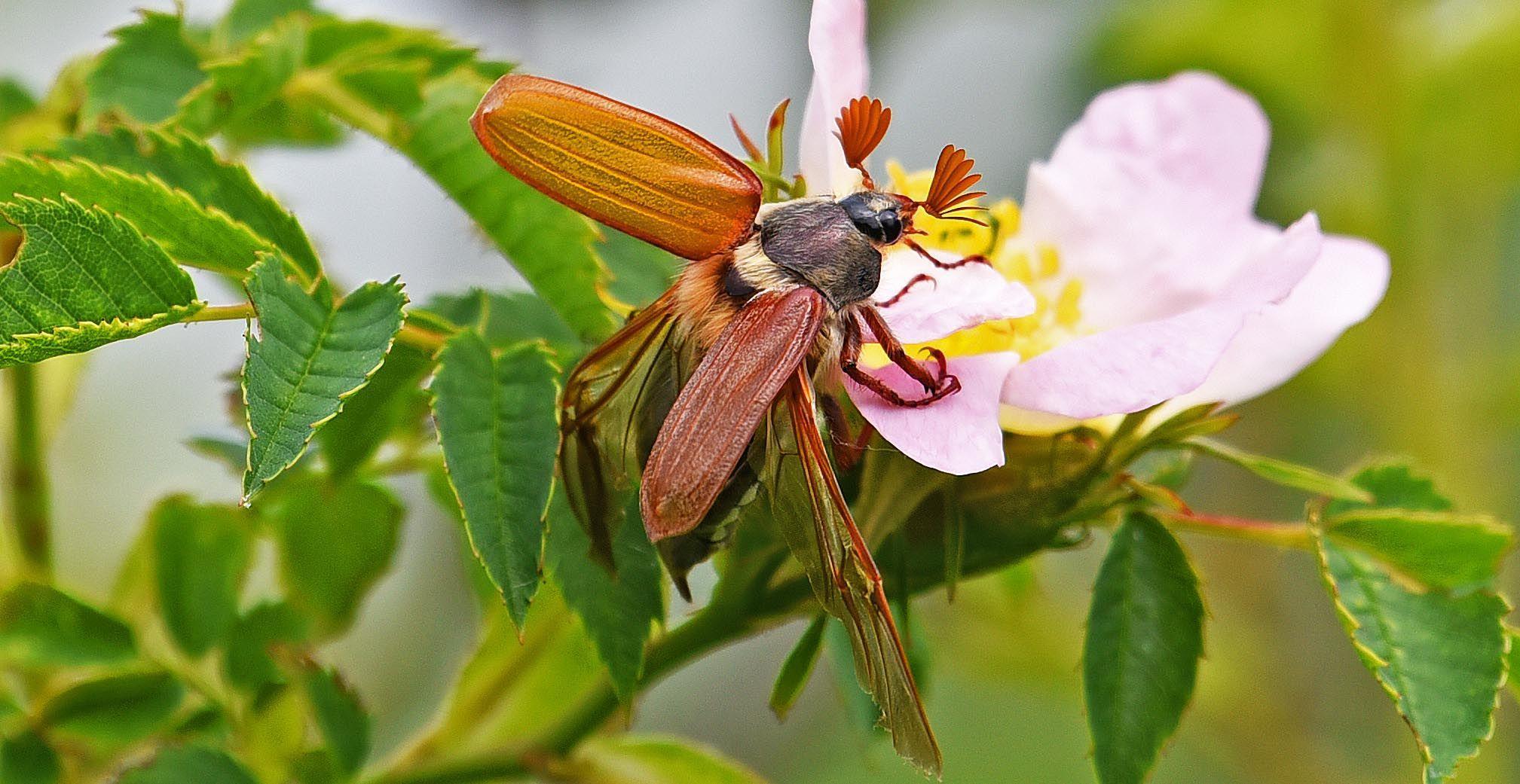 De meikevers en hun niet-poepende enge larven | column Geeke Remmelts