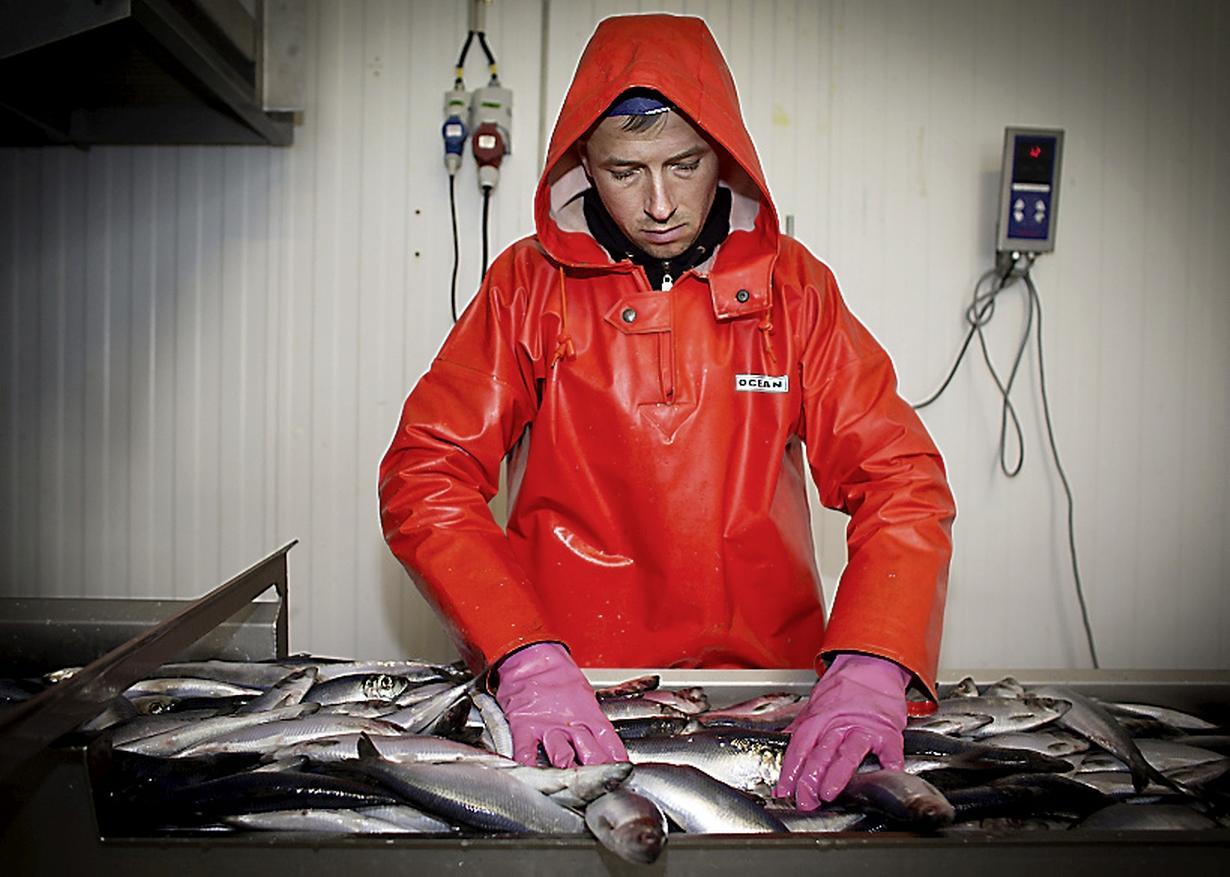'Vroege' haring zorgt voor een frisse smaak, de eerste partijen liggen al bij de Nederlandse vishandelaren. Woensdag start het seizoen