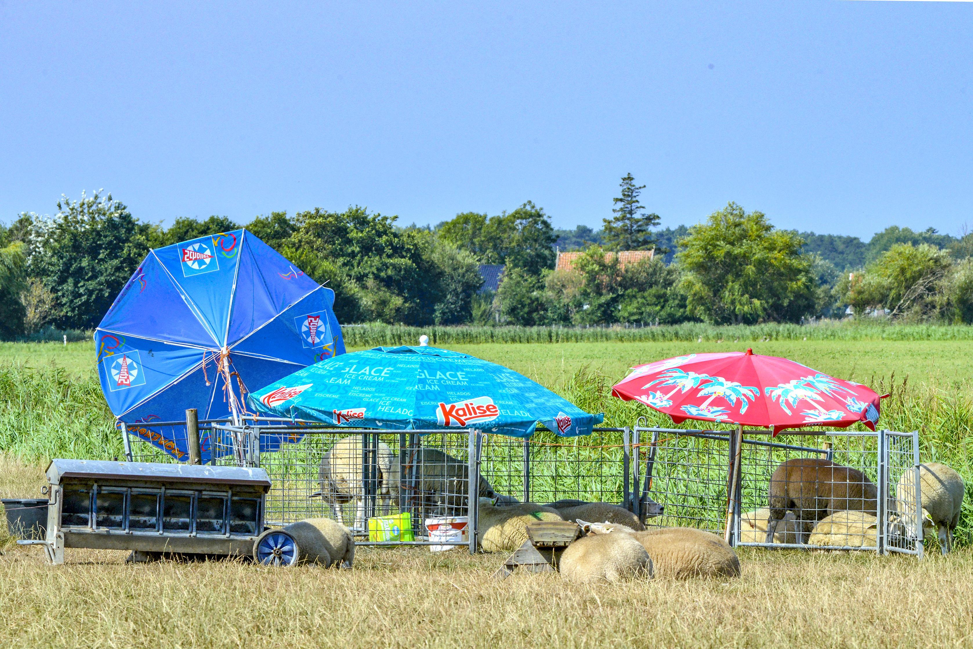 Texelaar Marius Bakker tikte voor een knaak een paar parasols op de kop. Nu liggen zijn lammeren lekker in de schaduw