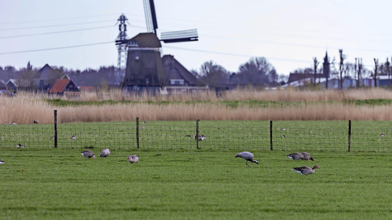 Gespotte kraanvogel vaker gezien en vastgelegd. Exotische dwaalgast slaat vleugels uit via Facebook [update]